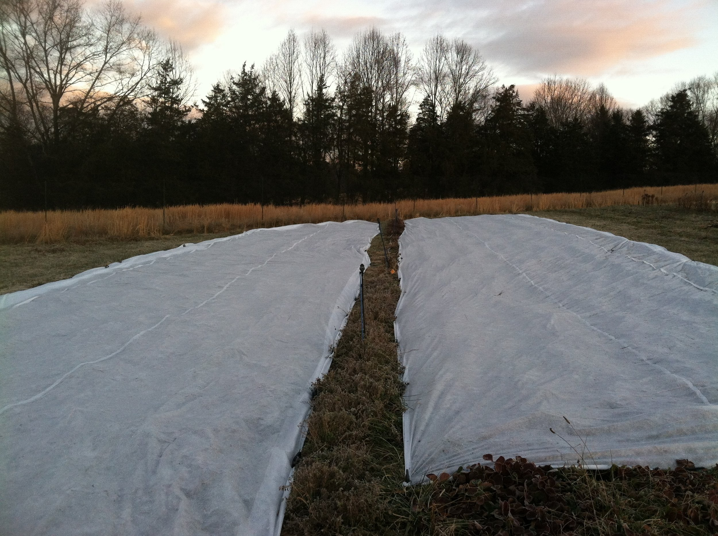 Strawberries tucked-in for the winter, with help from workshare James and his commandant, JD.