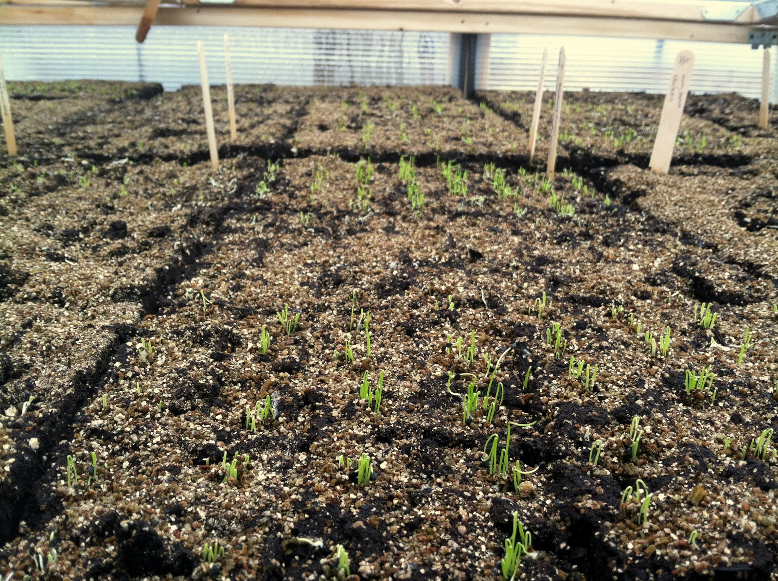 The Onions pop from their soil blocks.