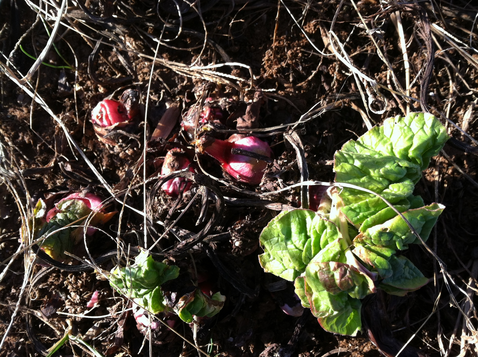 The rhubarb started to wake-up, so I got busy moving it.