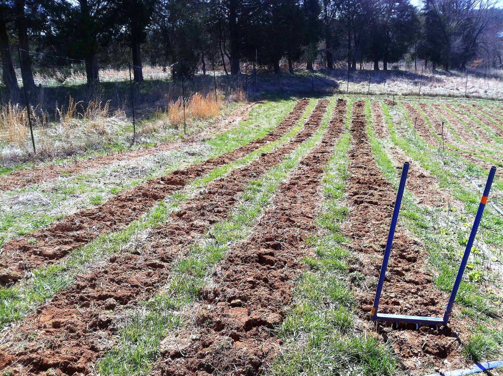 One of you asked how the parsnips were so long in this clay. I broadfork all the root beds -- carrots, parsnips, burdock, sweet potato, etc. It takes up to an hour a bed, so doing it for all 250 beds would be a bit much. But doing it for just the roots is a great way to spend a morning. Our soil is still too chunky, so I had to wait for the tractor to return before I could seed these to carrots.