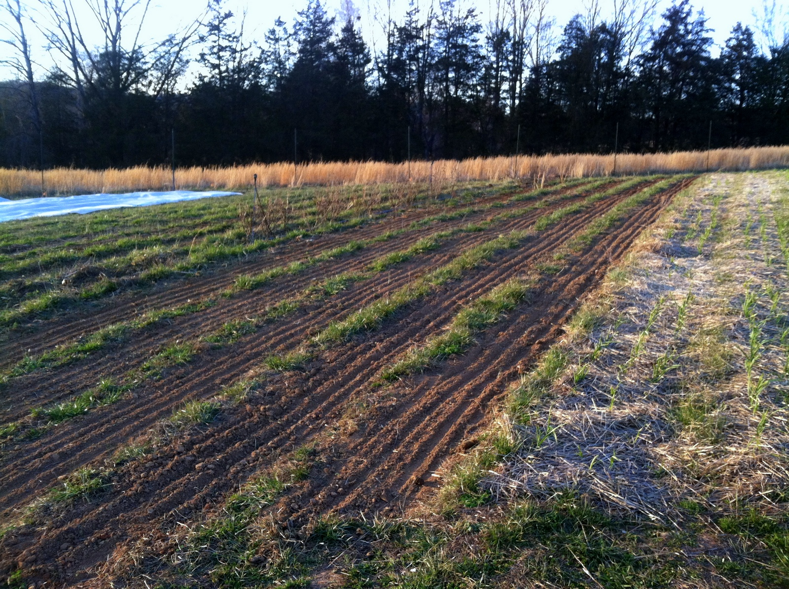 """Before the snow fell, and while the tractor was away, I prepped some beds, then planted the milky oats, a first bed of spring spinach, and the early umbeliferous herbs -- dill, cilantro, parsley, and cutting celery. The cilantro, """"pokey Joe,"""" is a chef taste-test winner I am excited to have on the farm this year. Also note, to the right, the garlic as it comes in."""