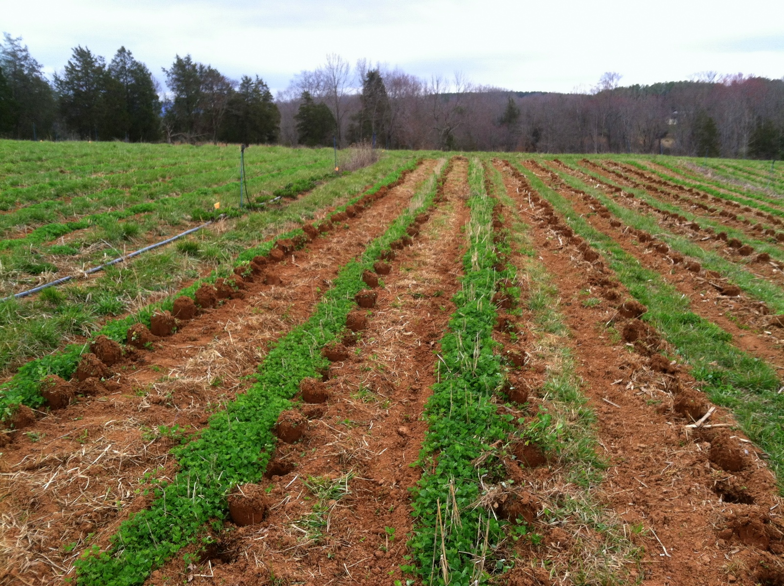 A funny scene. Past research and my own experiments show a somewhat steady lb/acre yield within a pretty large window of potato spacing. With red clover in the middle, and the pathways tilled to install white clover, there isn't space for a traditional potato hilling. Instead of 1' spacing in a furrow, for this early potato planting we have 2' spacing and post-holes.