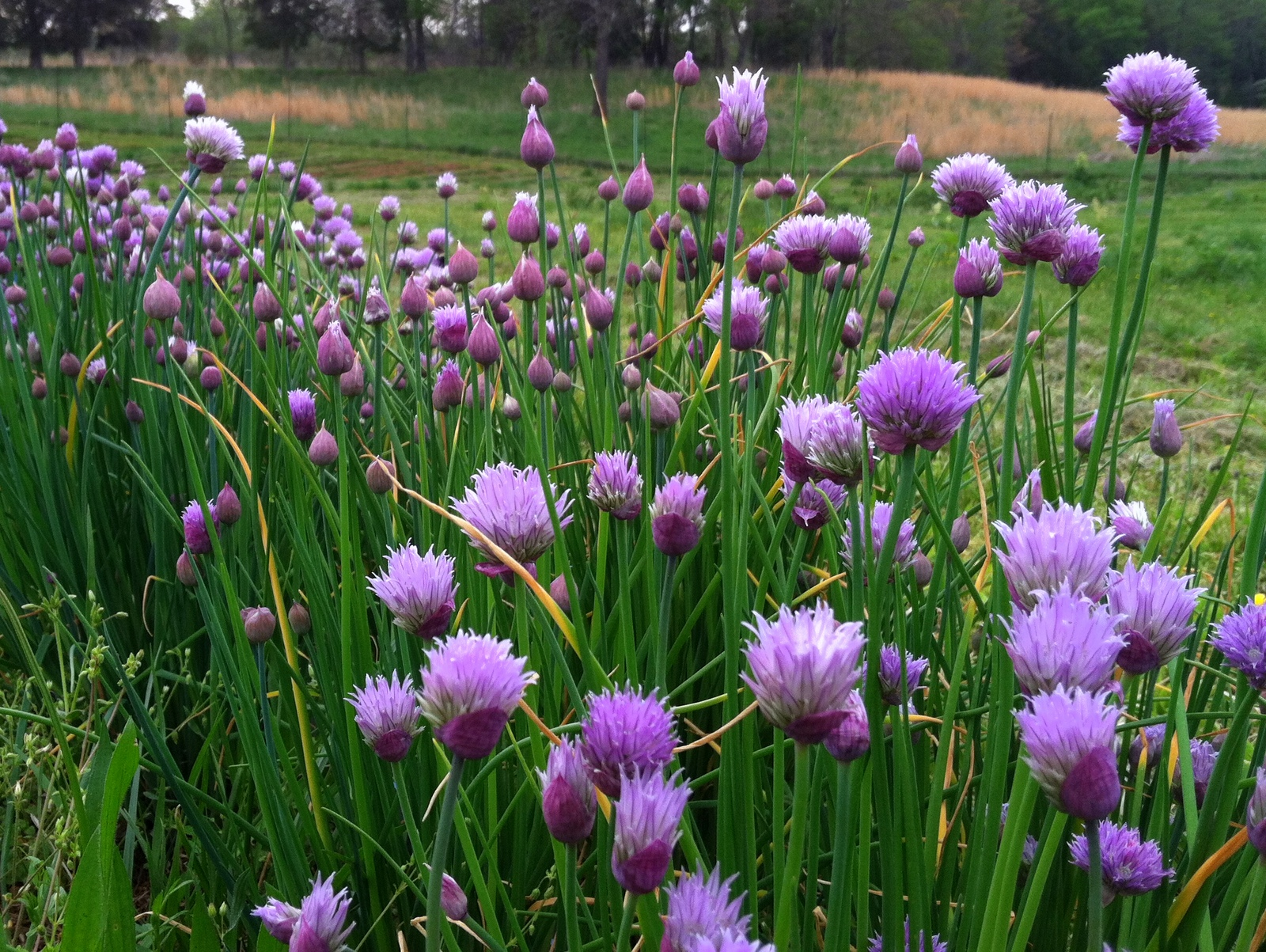 Once the Onion Chives begin to flower, the stalks loose their softness. These will be in with a small 'harvest' of Flowers, but the Chinese/Garlic Chives are still on.