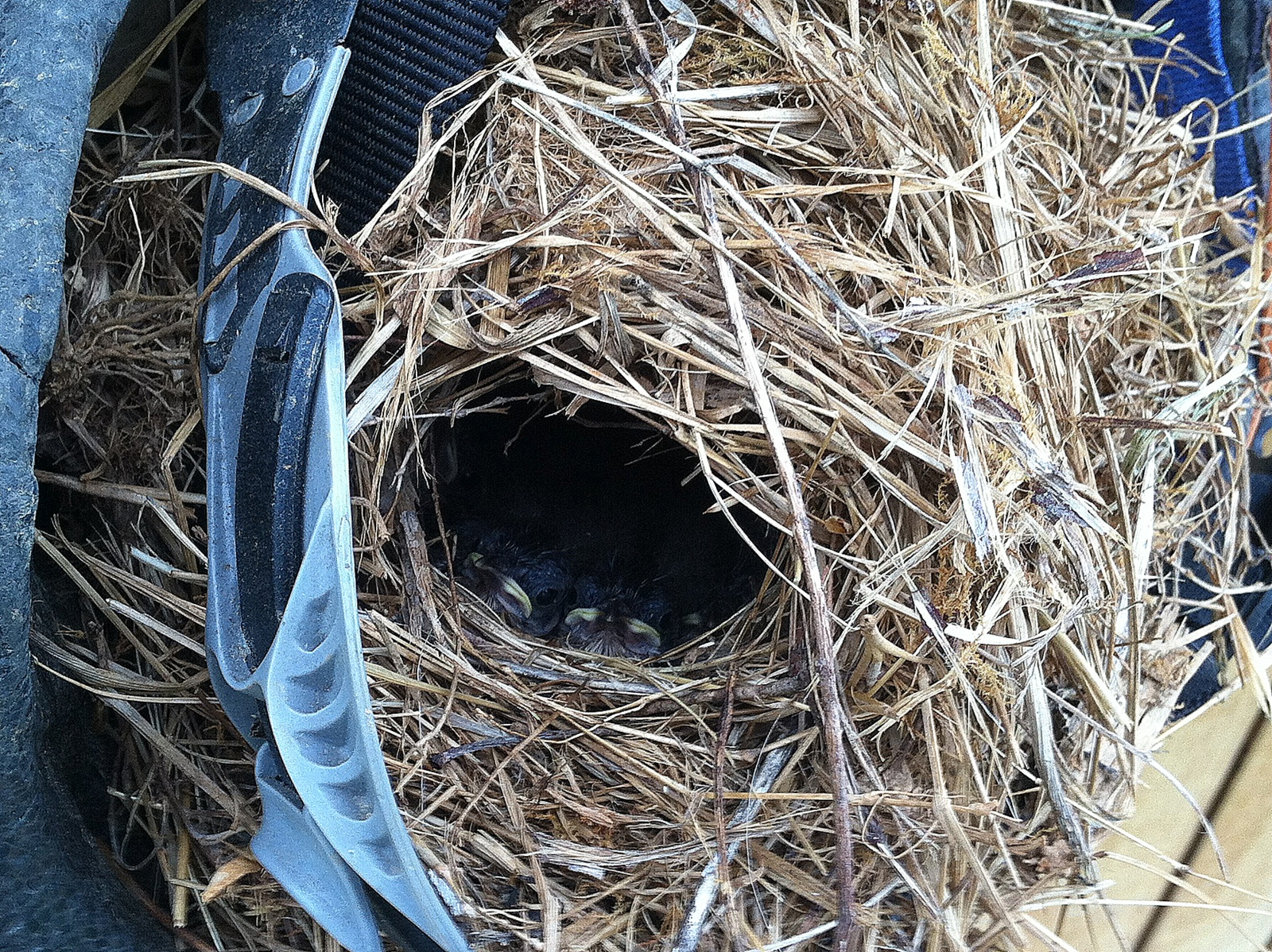 Not only the lettuce is growing on the farm this spring. Our bike helmet babies. It took many words and the closing of doors to finally get them to stop their attempt at building the nest in the farmstand.