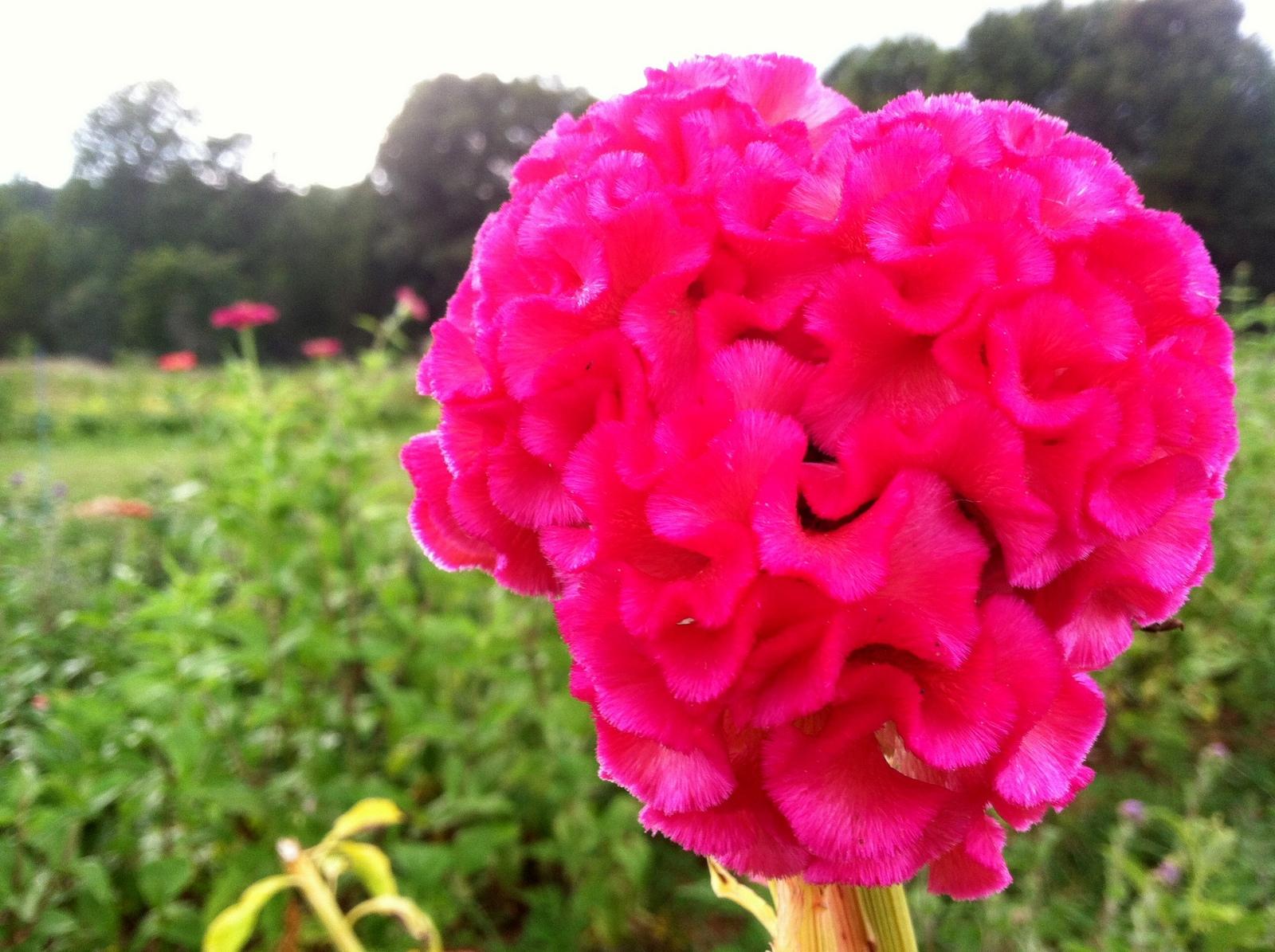 Celosia argentea cristata  'Chief Rose'