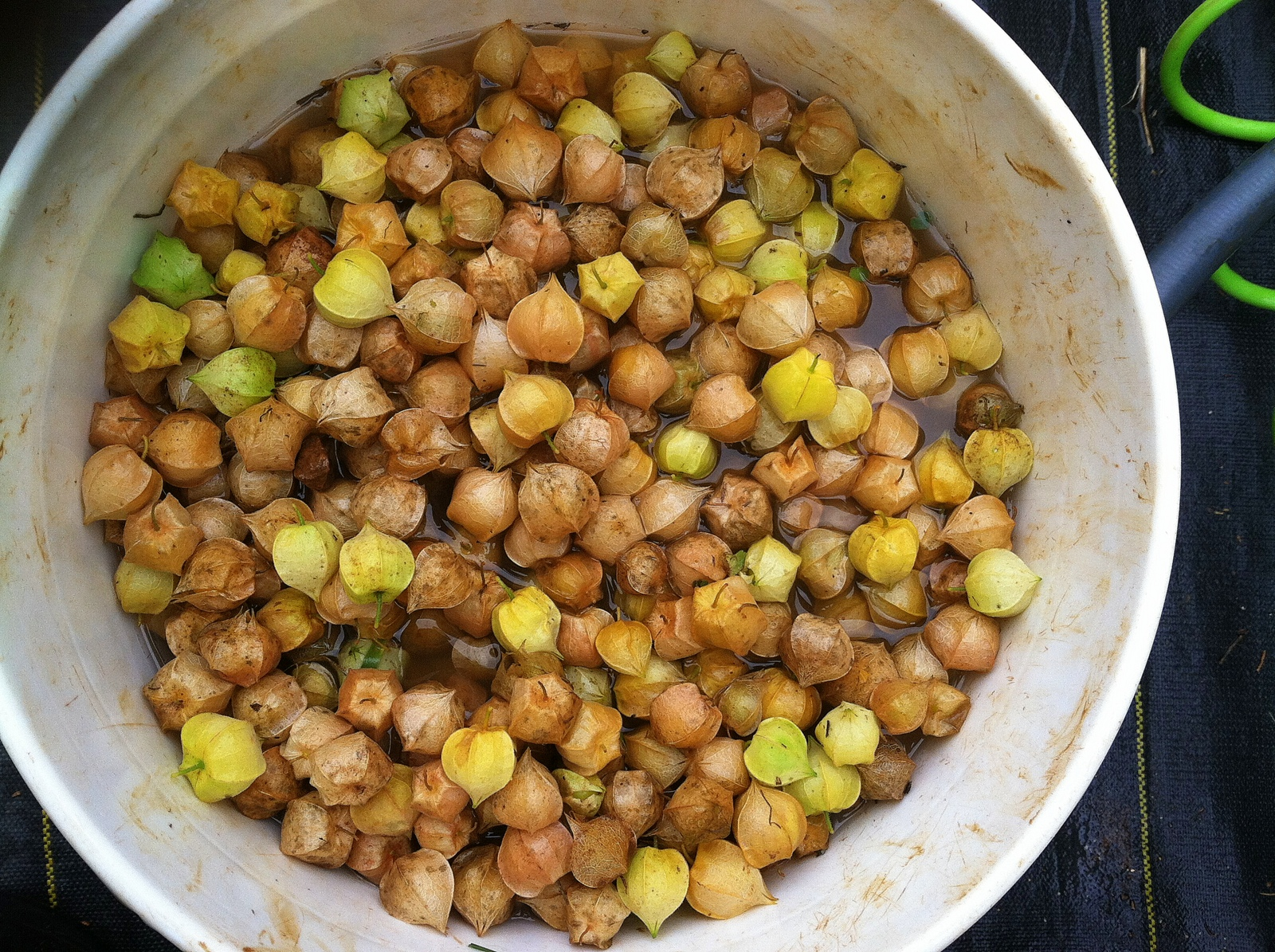 Husk Cherries get their bath. There are 4 varieties in this bucket -- Aunty Molly's, Cossack Pineapple, Goldie, & Giant Cape Gooseberry -- with 2 more, related species, on the way -- Cape Gooseberry & Poha -- and 1 failure, Ambrosia. At some point, I will have them in separate containers for a taste test. Do note: 1) one does not eat the papery husk :), and 2) one eats the yellow-orange ripe berries, not the green. Though we shall see if the green ever ripen onwards.