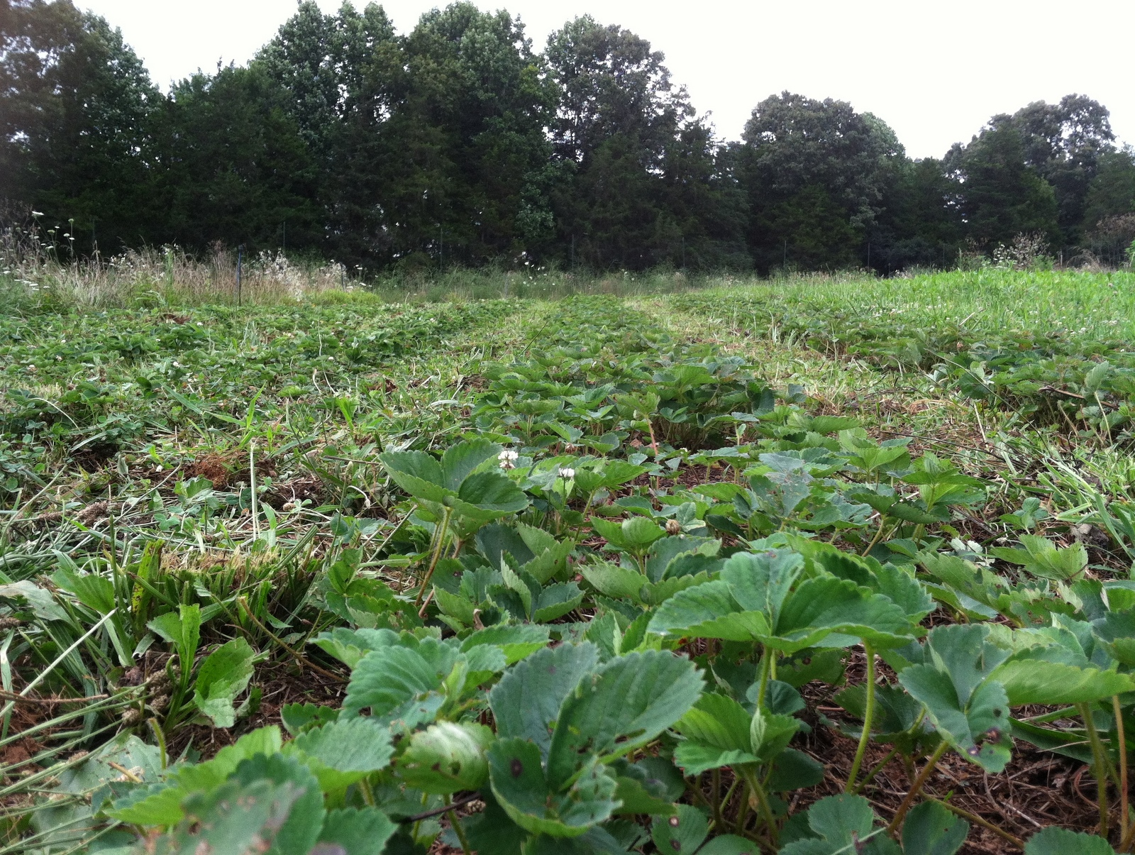 Wet weather makes fine weeding. The strawberries get cleaned-up for next spring.