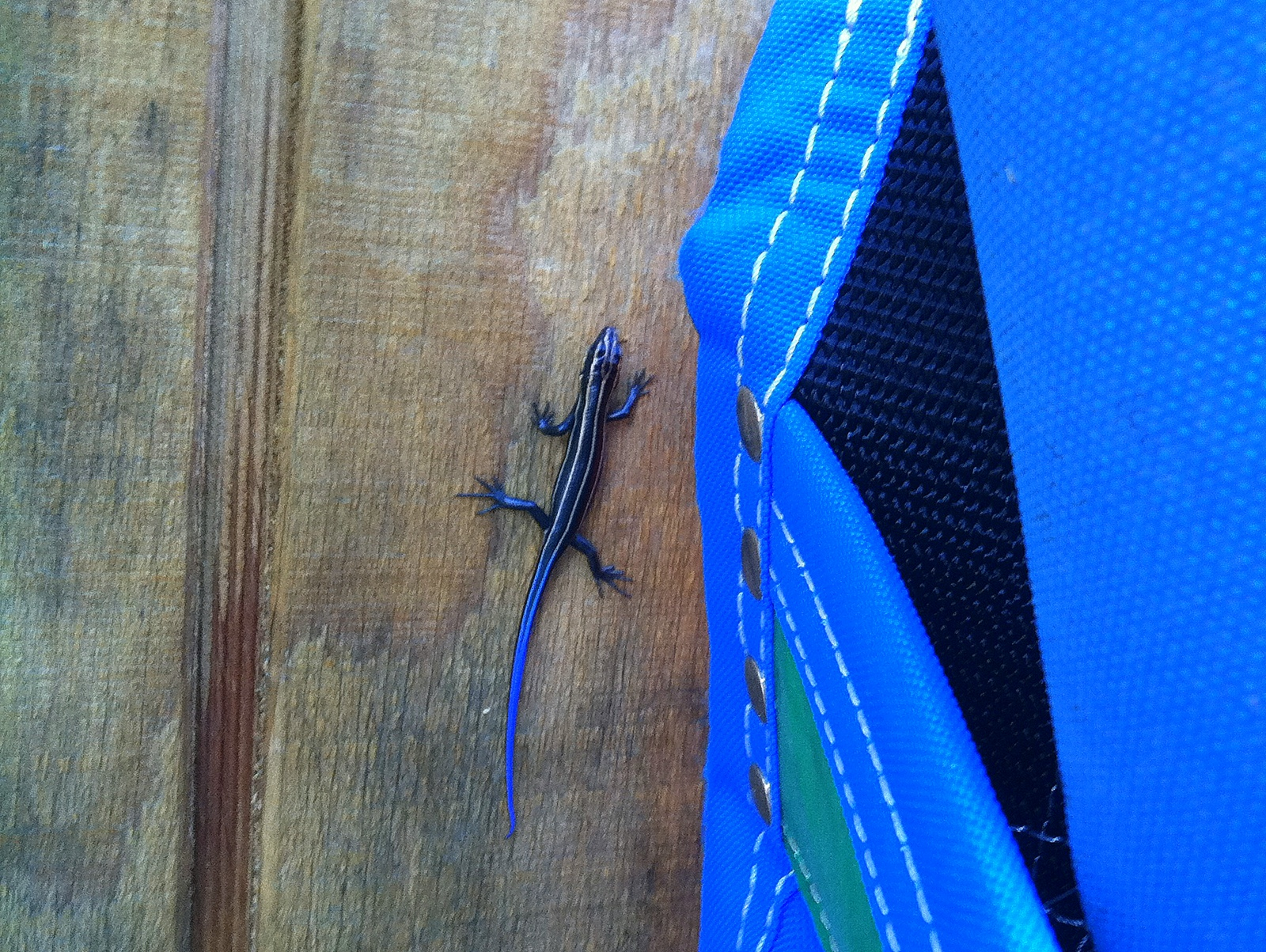 I'm still new here, so this is just the second skink I've ever seen, and the first on the farm. To the side is the shoulder-sling harvester, one of my favorite tools. A juvenile five-lined skink -- Common or Southeastern? -- per the internet.