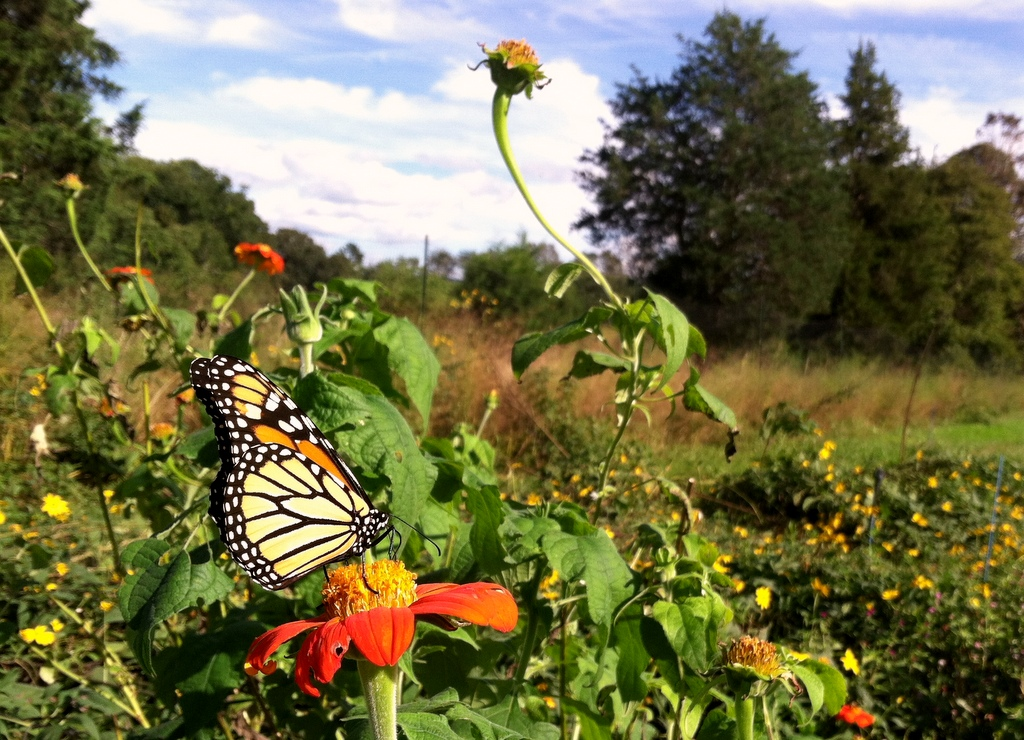 A monarch on some old Tithonia. I've added a yellow Tithonia to the list for next year, among 32 new varieties for species new and old.