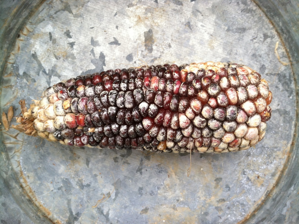 'Cherokee Long' popcorn, with some maybe bad but definitely beautiful streaking of the kernels.