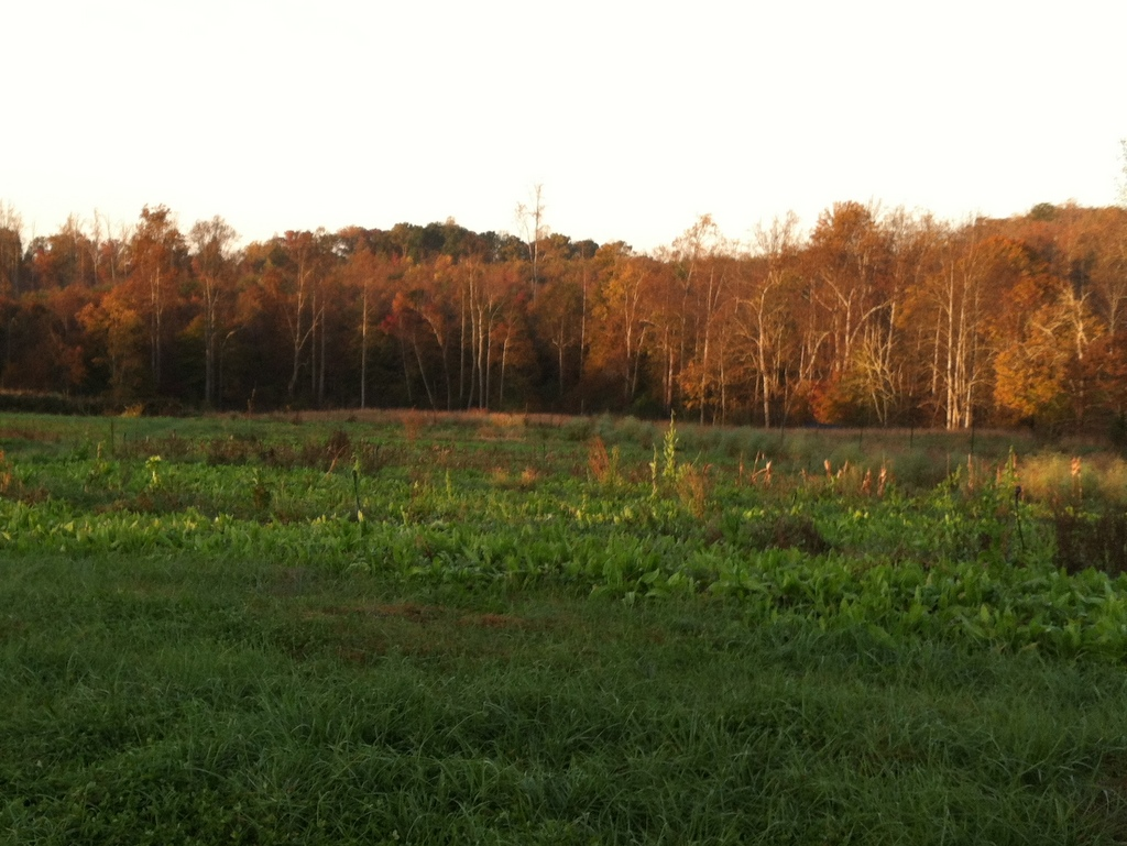 Bedtime — the not quite sleeping, but the farmer reads the fields to sleep — time. That chicory was lush all year.