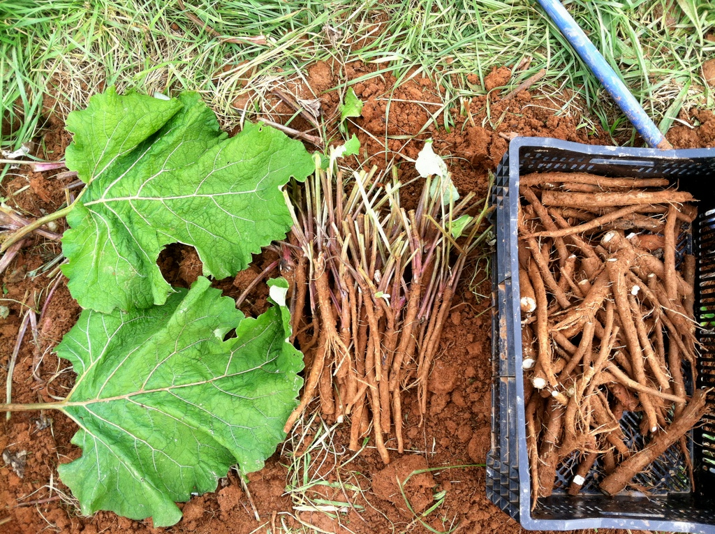 I reckon the standard farm penalty for complaints regarding the digging of carrots, should be the digging of burdock. :) I took a record of leaf size, so I don't forget in the future plan … because they're big!