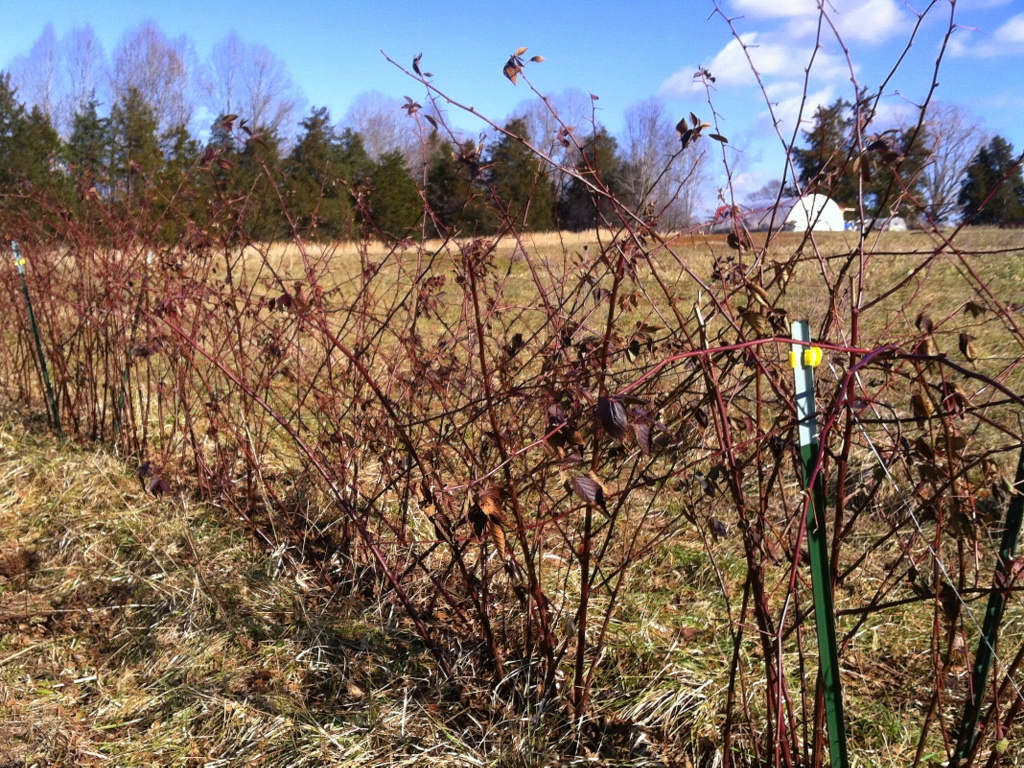 Blackberry brambles get their annual pruning. This coming summer ought to be our first for proper production. Hip hip. I'm really hoping the 'Triple Crown' come on well, as they were the flavor winner last year.