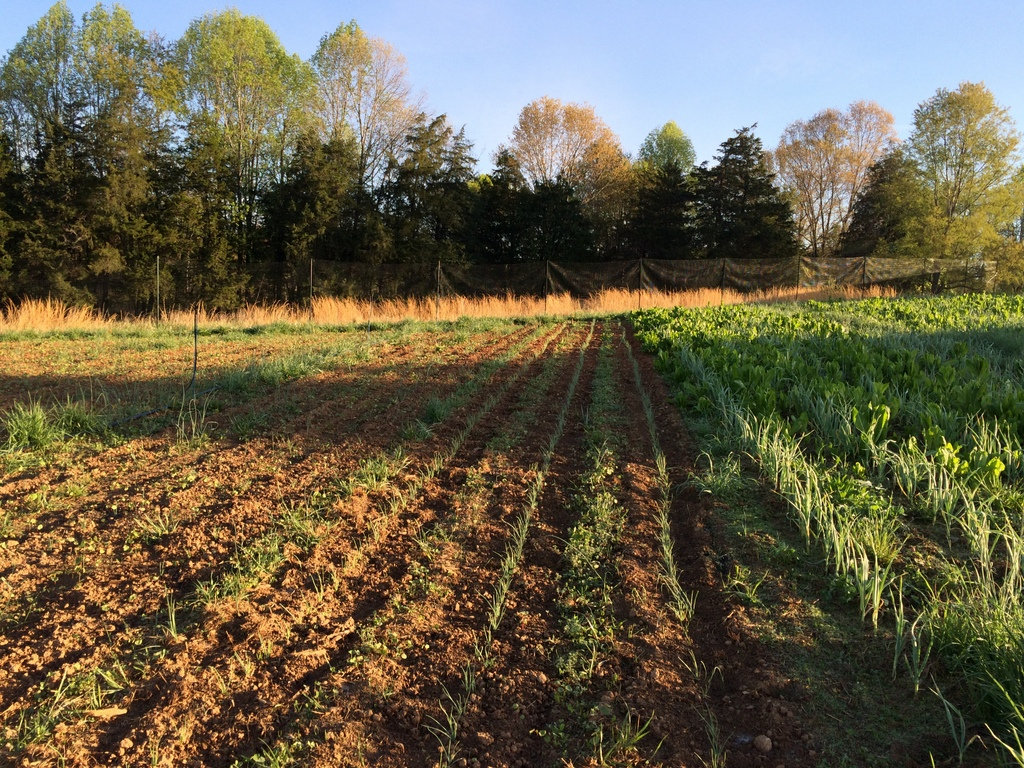 The fresh onions settle into their new home, and the garlic asks for a chicory mowing. :)