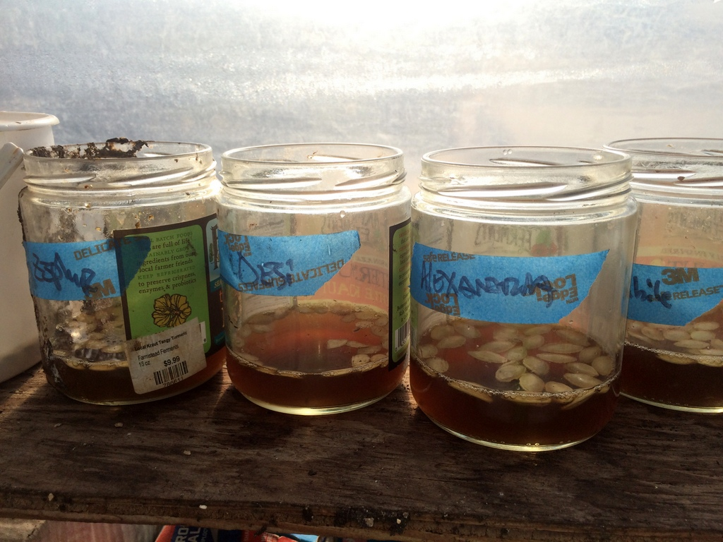 Summer squash seeds imbibe the yumminess / funkiness. Among a variety of experiments this year is a field -- vs. greenhouse -- planting of squash, cucumbers, and corn. Before field seeding I have been giving them a trial bath in a nutrient stew -- fermented alfalfa and kelp, an endomycorhizzal mix, bacillus spp. and trichoderma spp., streptomyces spp., and the more common em-1 mix — to get them ready for the summer.