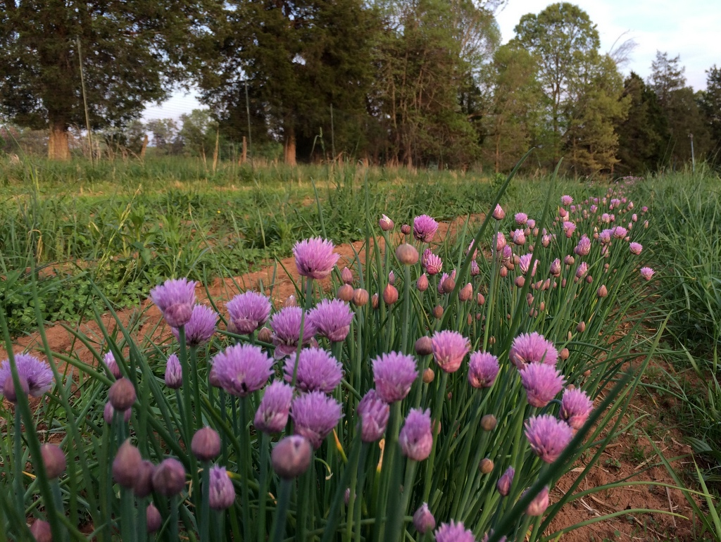 Chives in the new perennial herb garden. These are a transplant from last year, while everything else is two inches tall. It feels great, though, to have a dedicated spot for the culinary herbs.
