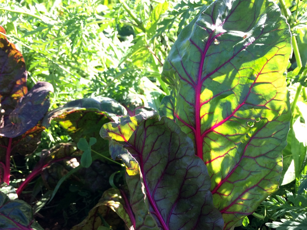 'Pink Passion' chard sure is pretty to look at. :)