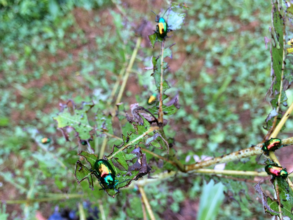 The most common common name for these are 'dogbane beetles.' I found them while wheel-hoeing the grits / polenta corn. Because, who doesn't like shiny things?