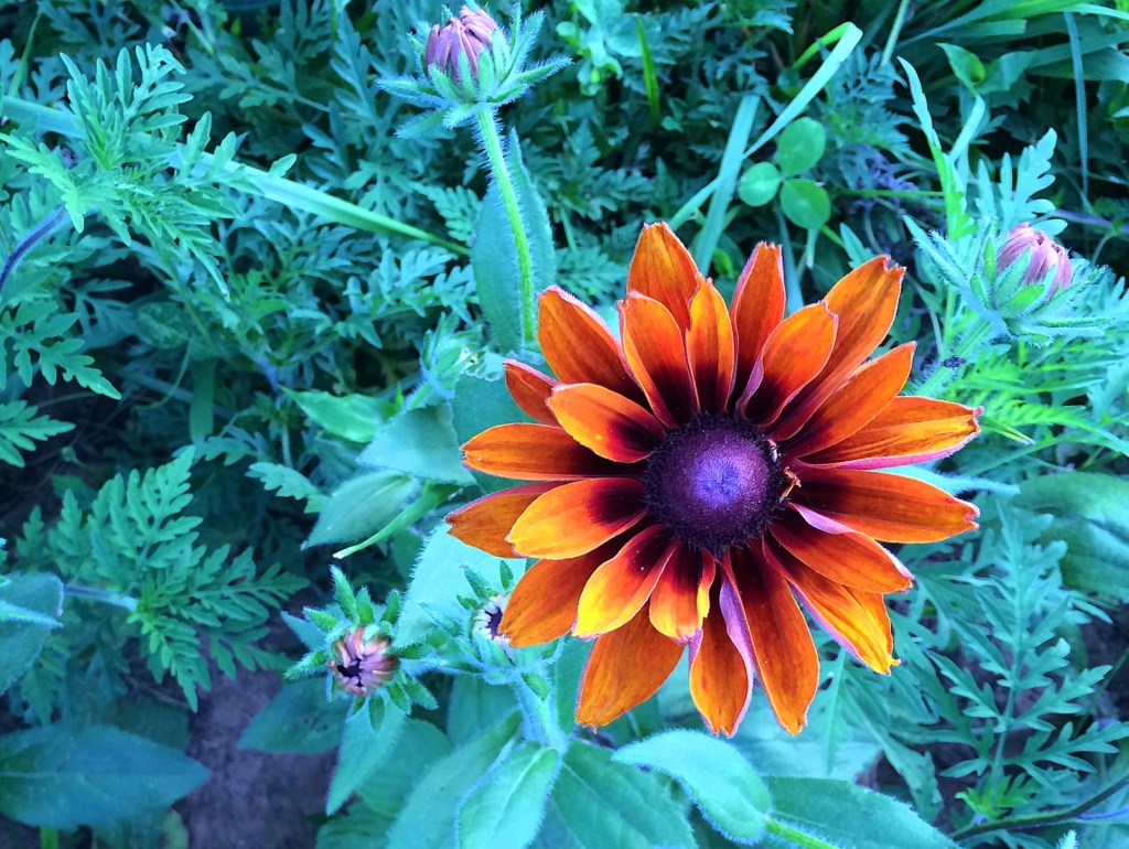 'Cherokee Sunset' Rudbeckia is new to the farm lineup this year. Let's keep it. :)