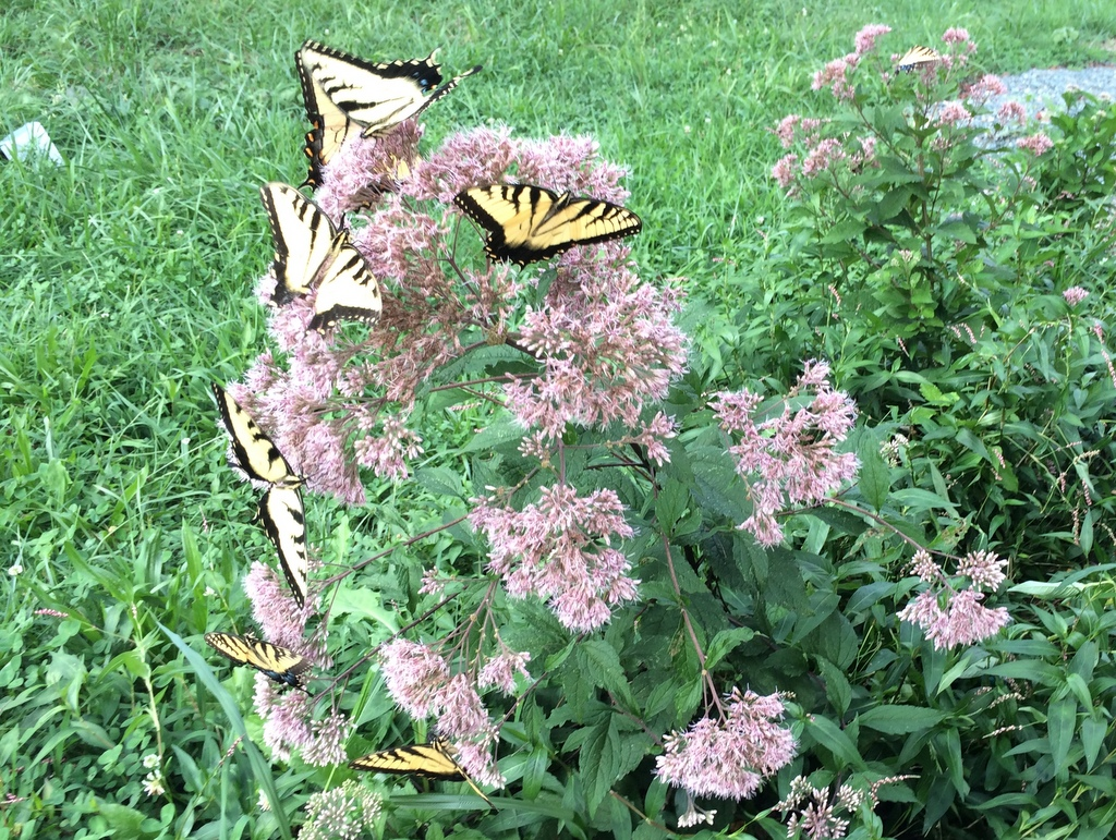 Tiger Swallowtails on a young Spotted Joe Pye Weed. One for each day of the week. It's always a little mind-blowing to remember that they only live 1-2 weeks in their adult metamorphic stage. Pretty wild.