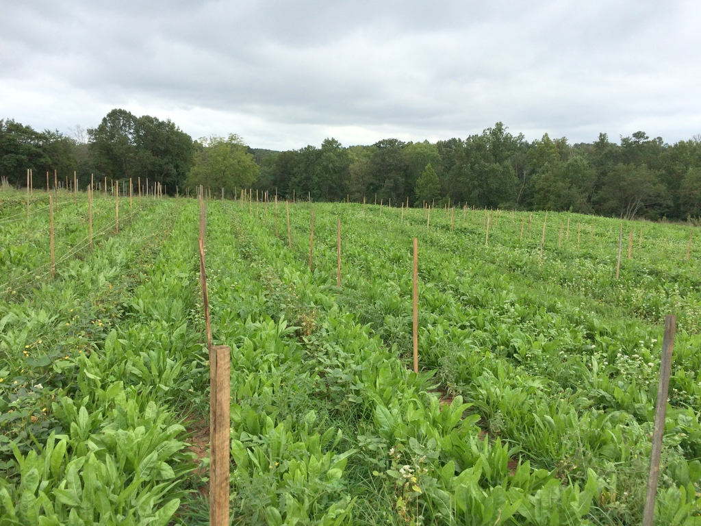Tomatoes #4 & #5 get their stakes, with inter-bed'ed beans -- southern & soy -- and a lush living mulch. A simple white clover monoculture would certainly be easier to manage, but a multi-species mix including the bright-green chicory is the current trial.