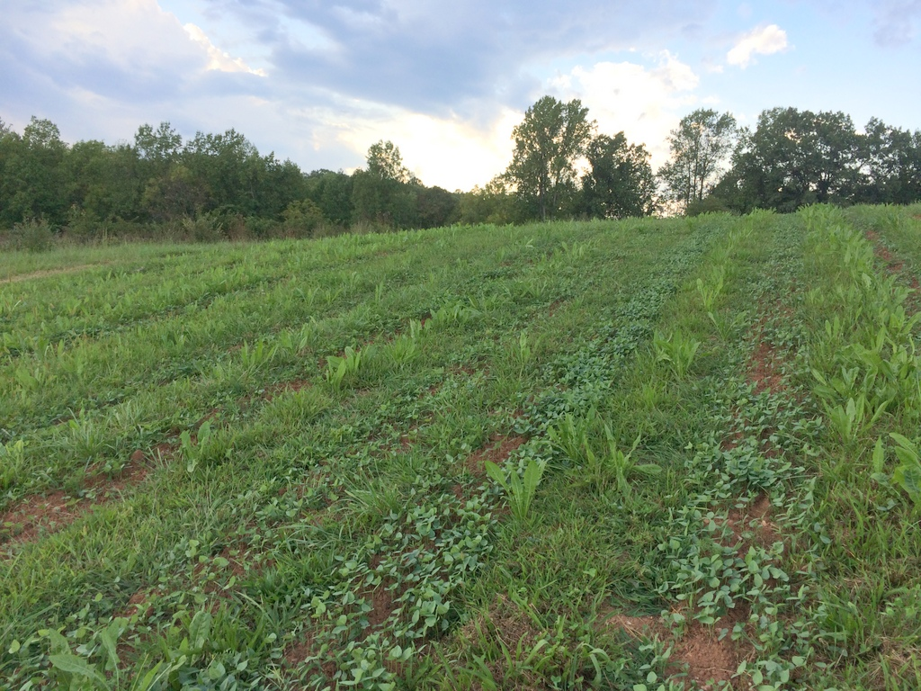 The full-on legume cover crop mix comes in. Big seeds — like those in this mix — get seeded at depth, which means better moisture, which means better germination … than smaller seeded crops.