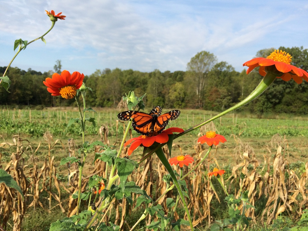 Monarchs have been all over the farm of late. Although they are on the Tithonia here, they have also been big fans of the red clover.