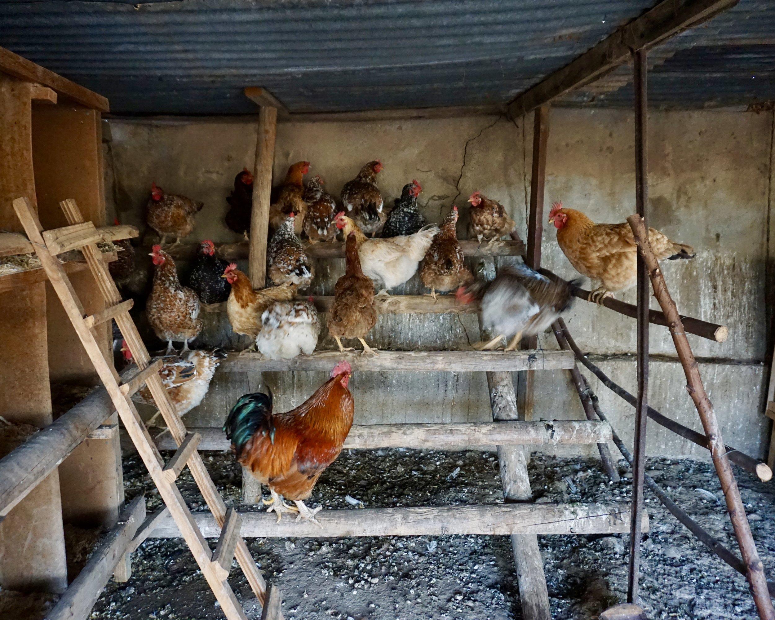 Klein Karoo: Natalya's Hens