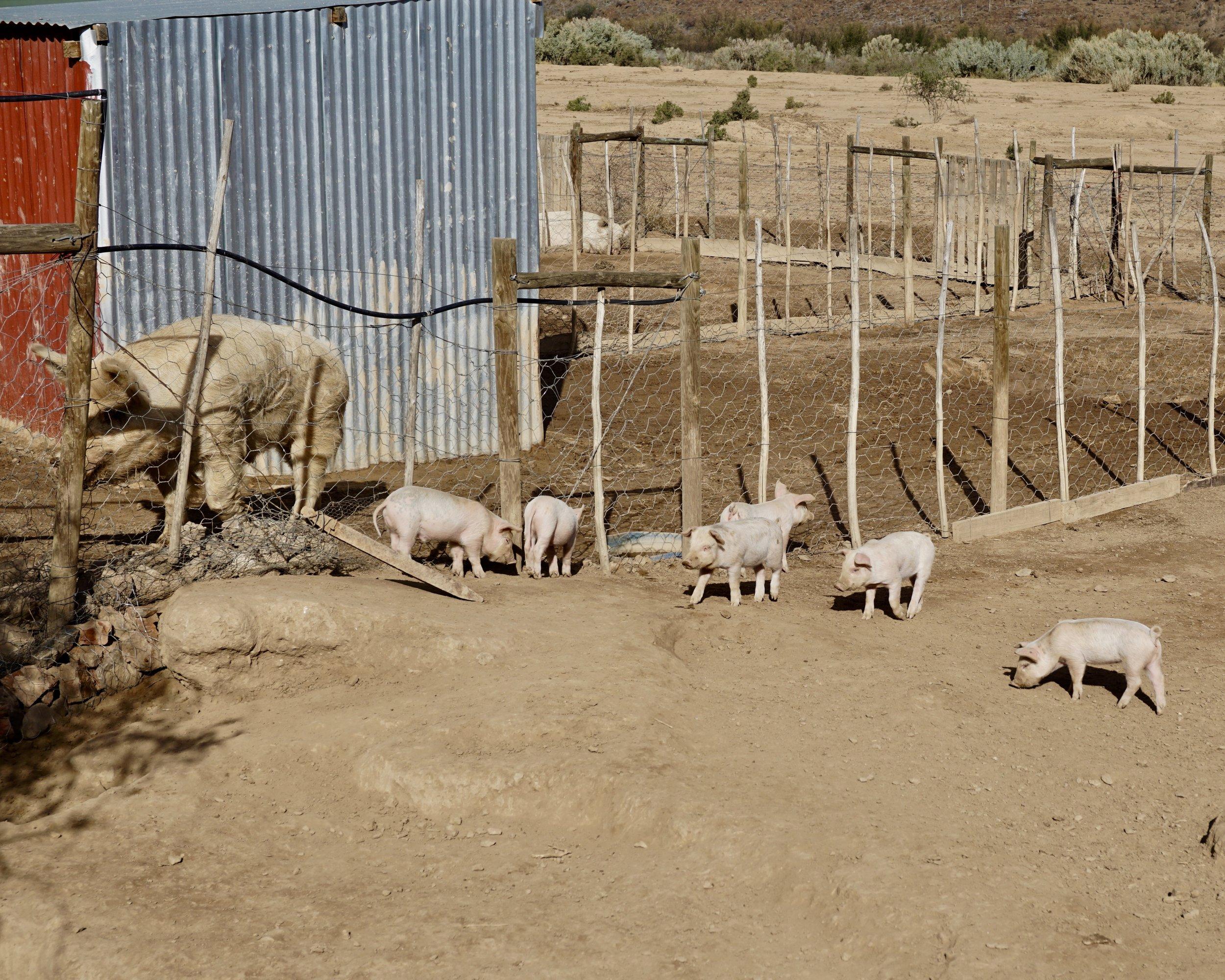 Klein Karoo: Pigs on Andrew's Farm