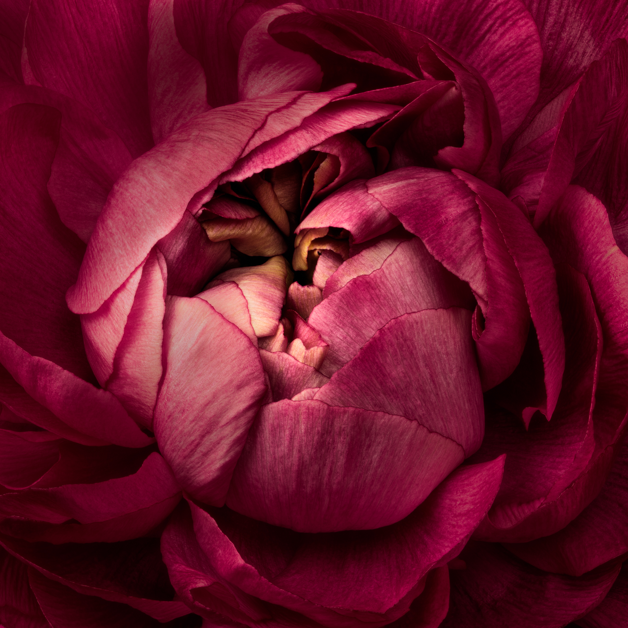 Center of Attraction Series -  Pink
