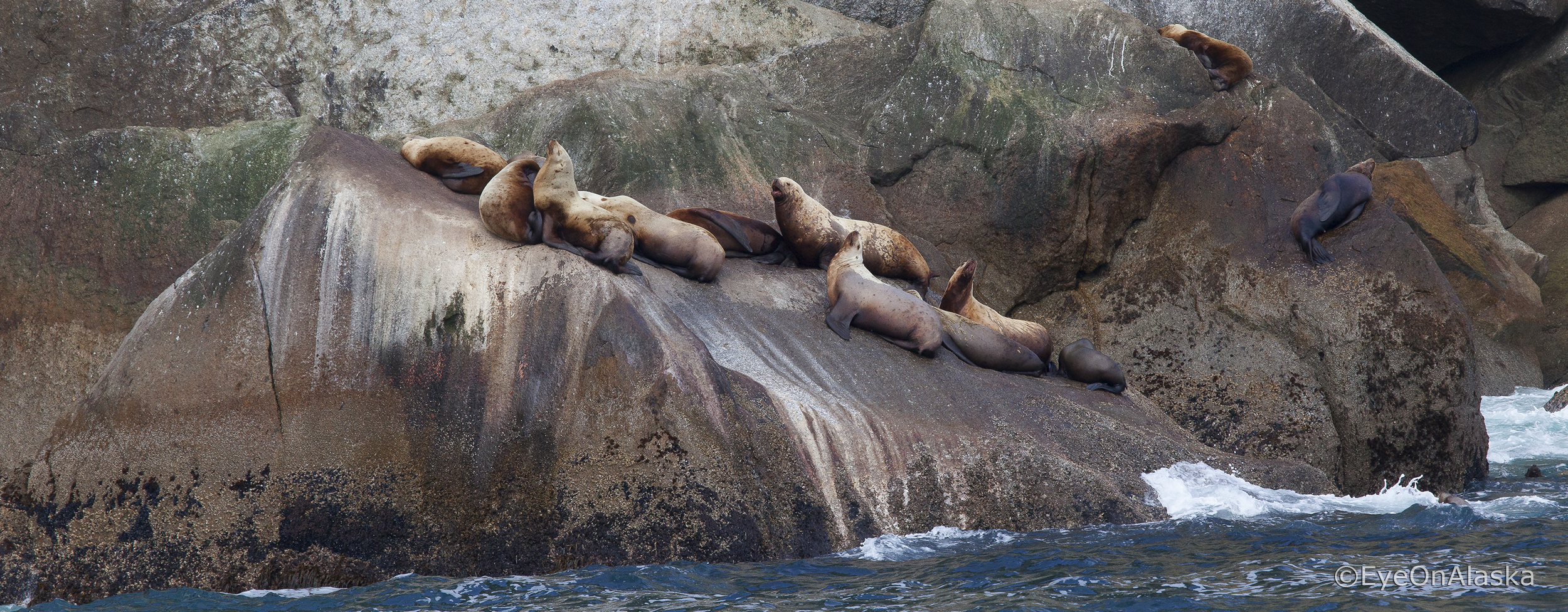 Sea lion haul-out, Kenai Fjords National Park.