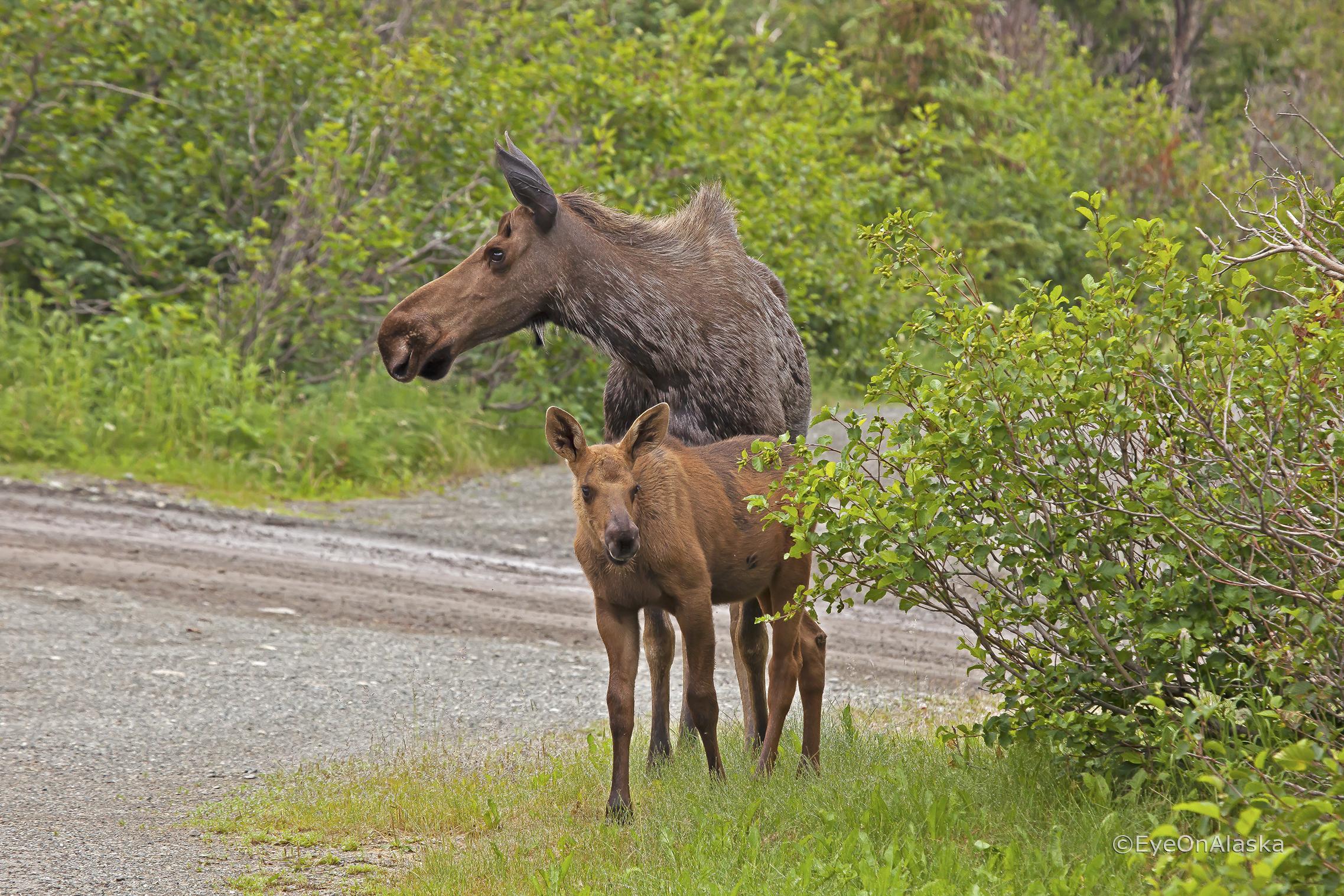 Mom & baby moose #1