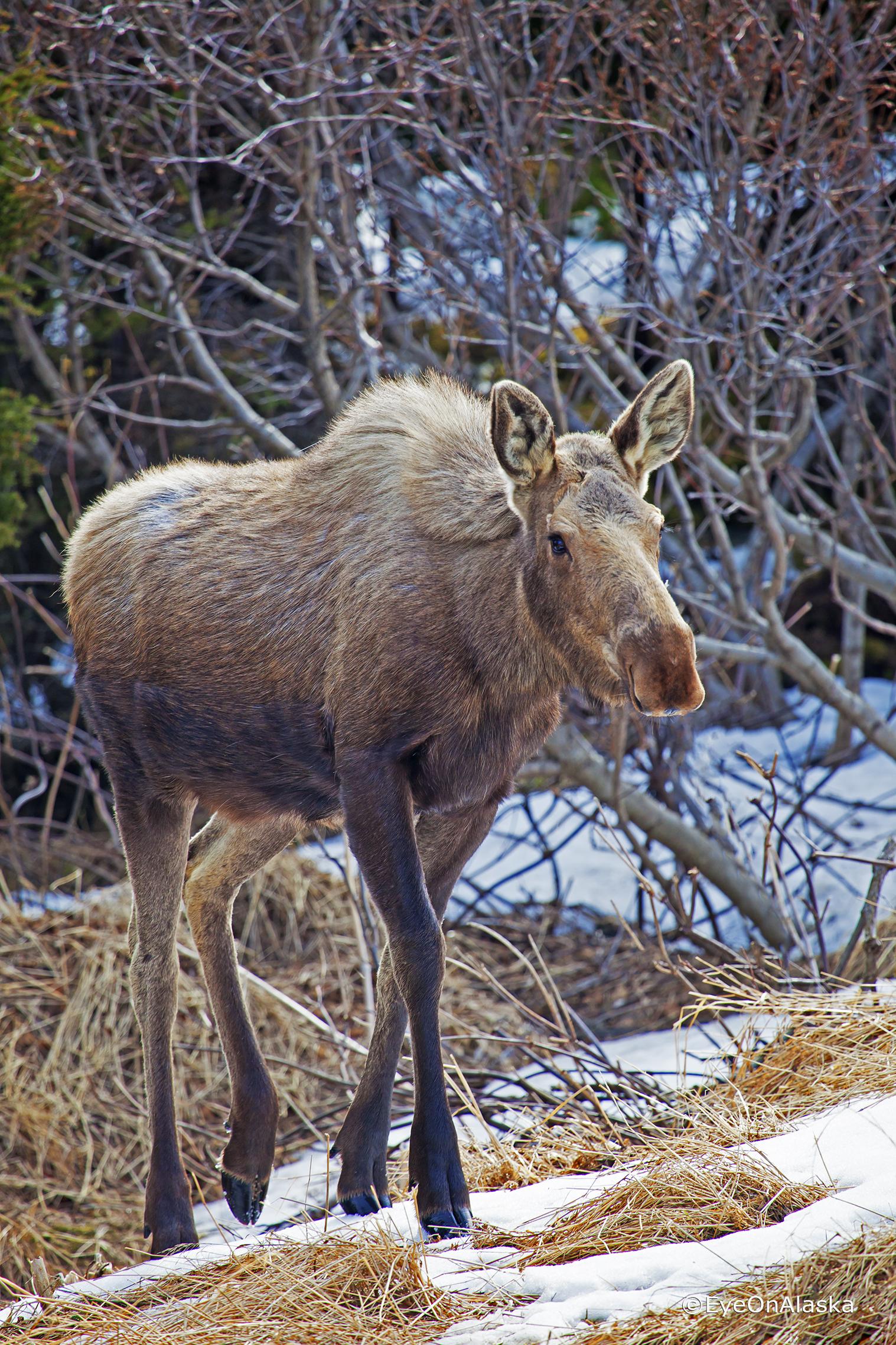 Mama Moose #1