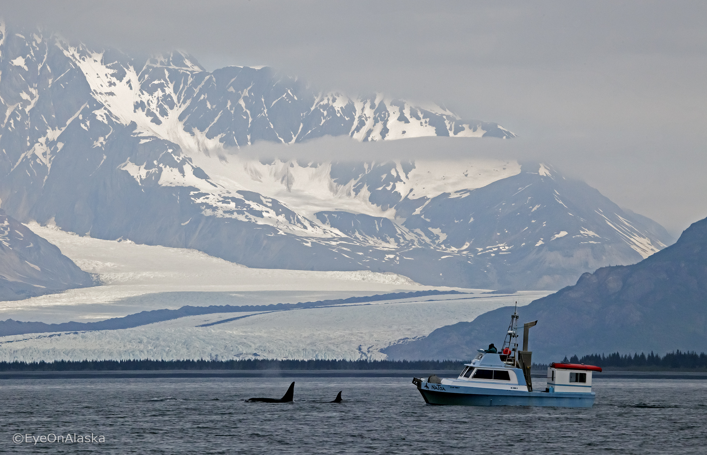 Orcas and research boat, Bear Glacier, Kenai Fjords NP