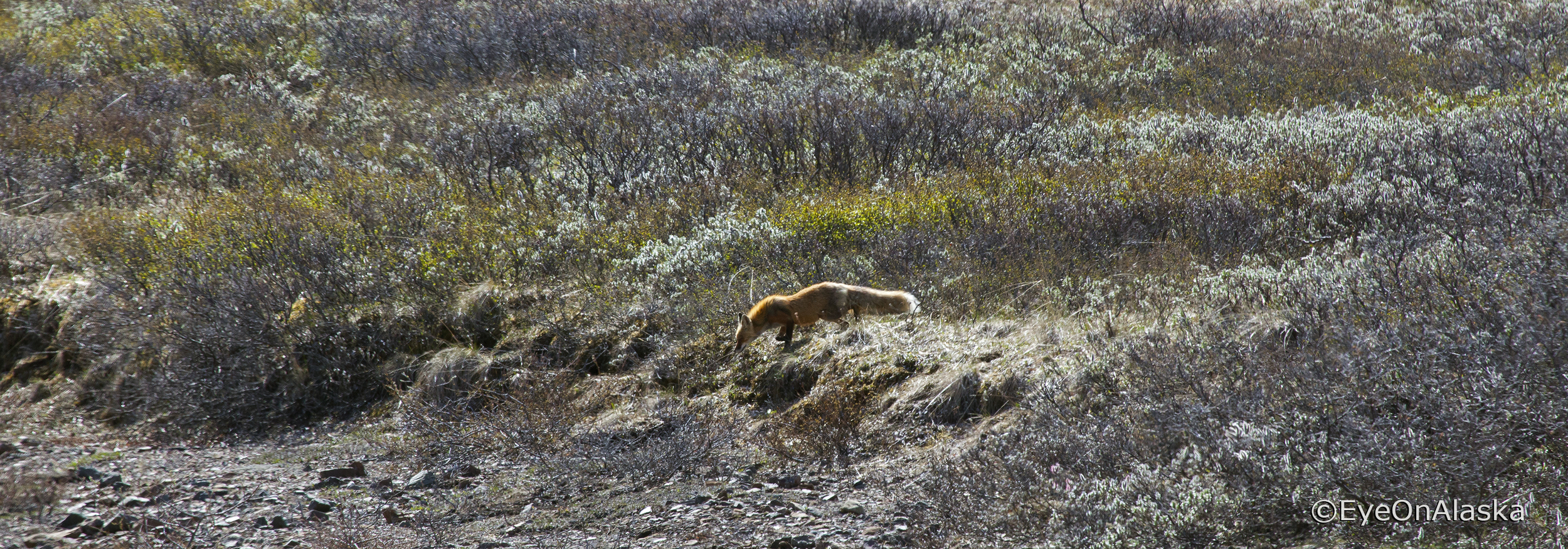 Fox in Denali NP