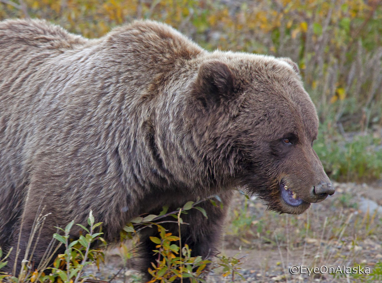 Denali Bear #6