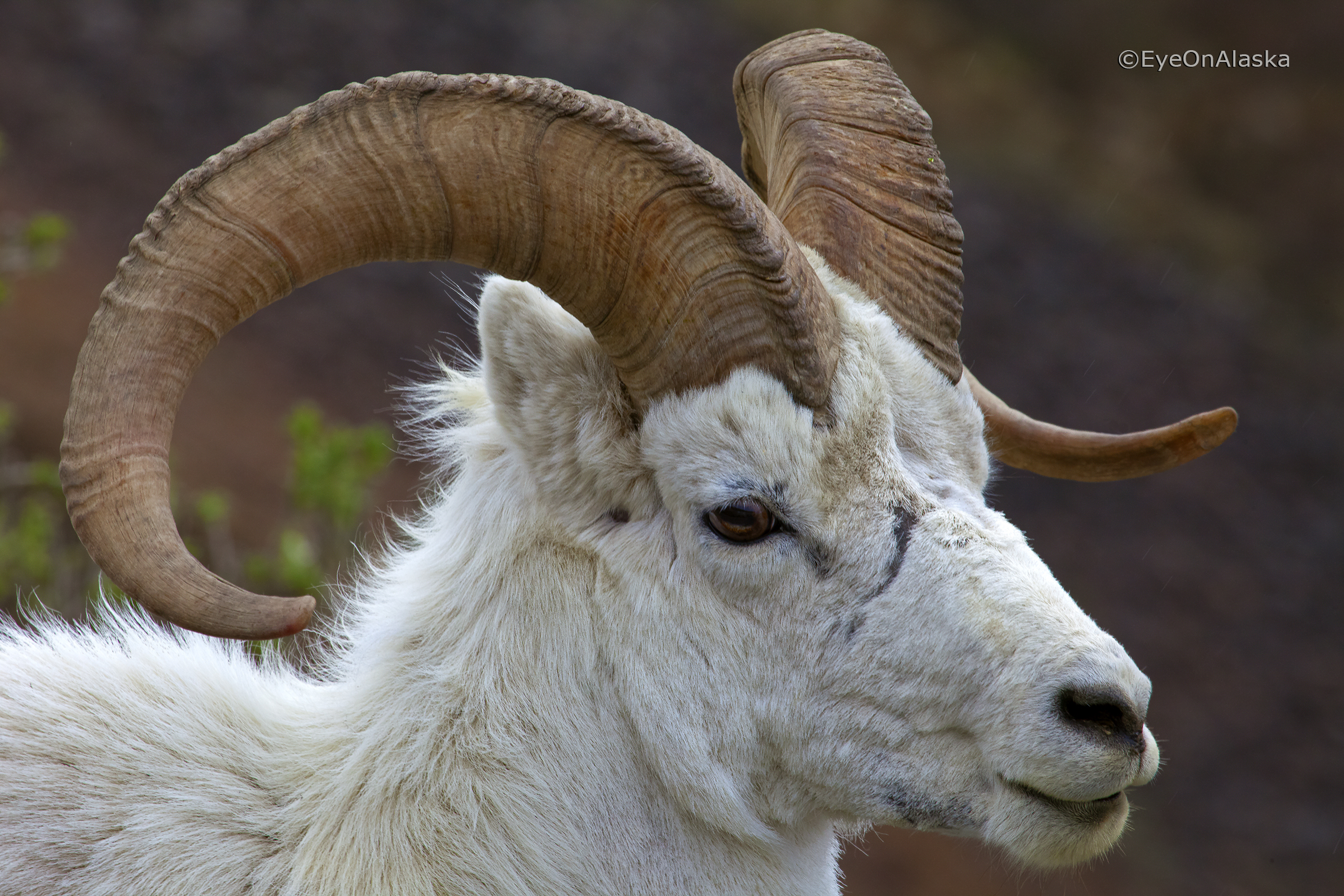 Dall Sheep closeup.
