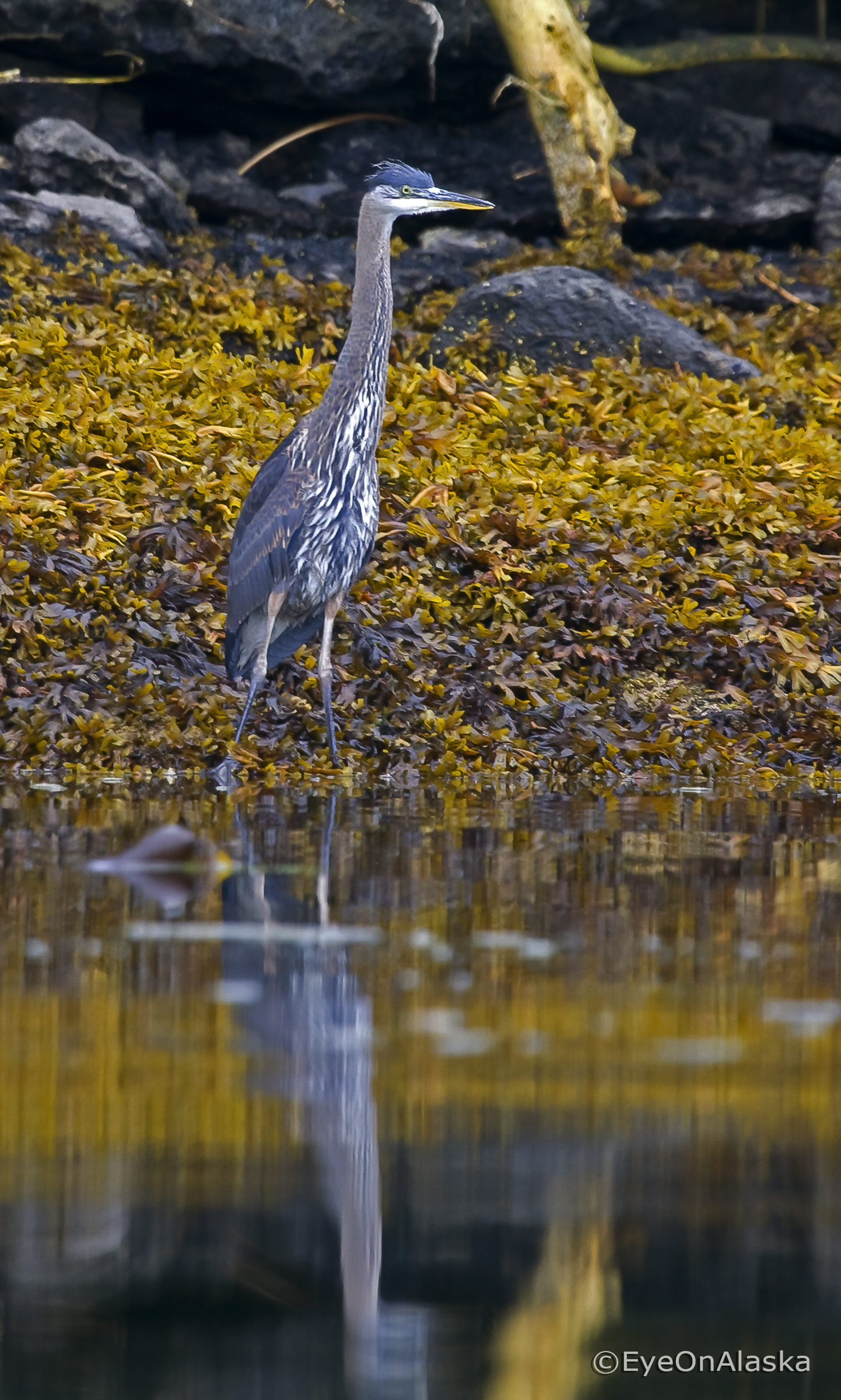 Blue Heron, Sea Otter Sound.