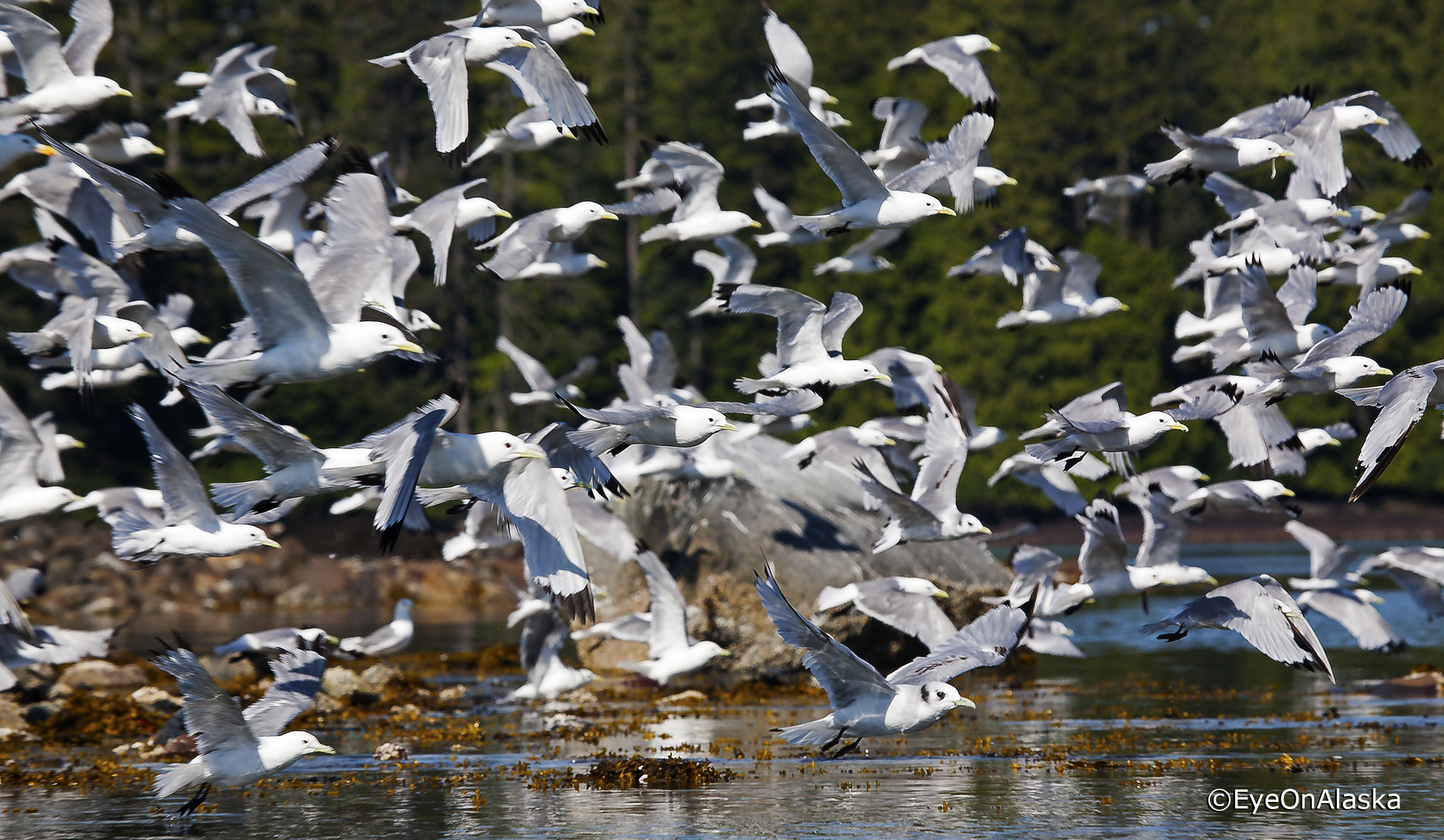 Gull Rookery, Sea Otter Sound, POW Island.