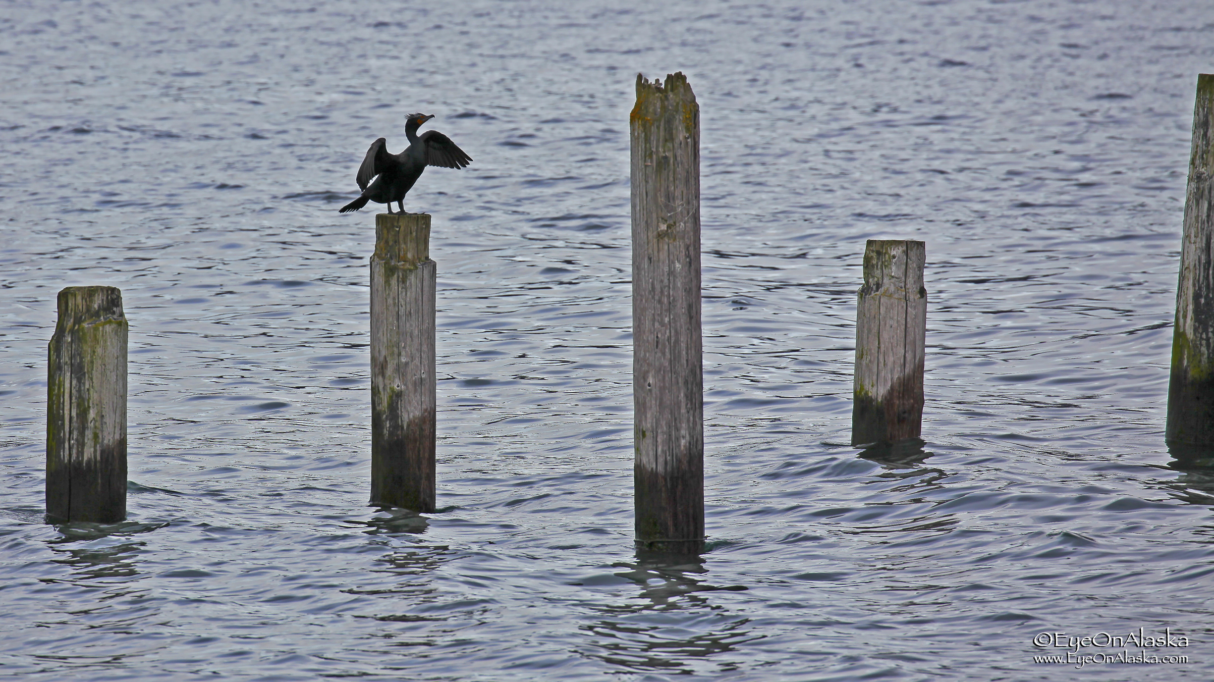 Cormorant drying his wings on the old dock pilings. These are leftover from the 1964 earthquake and tsunami that really hammered Seward.