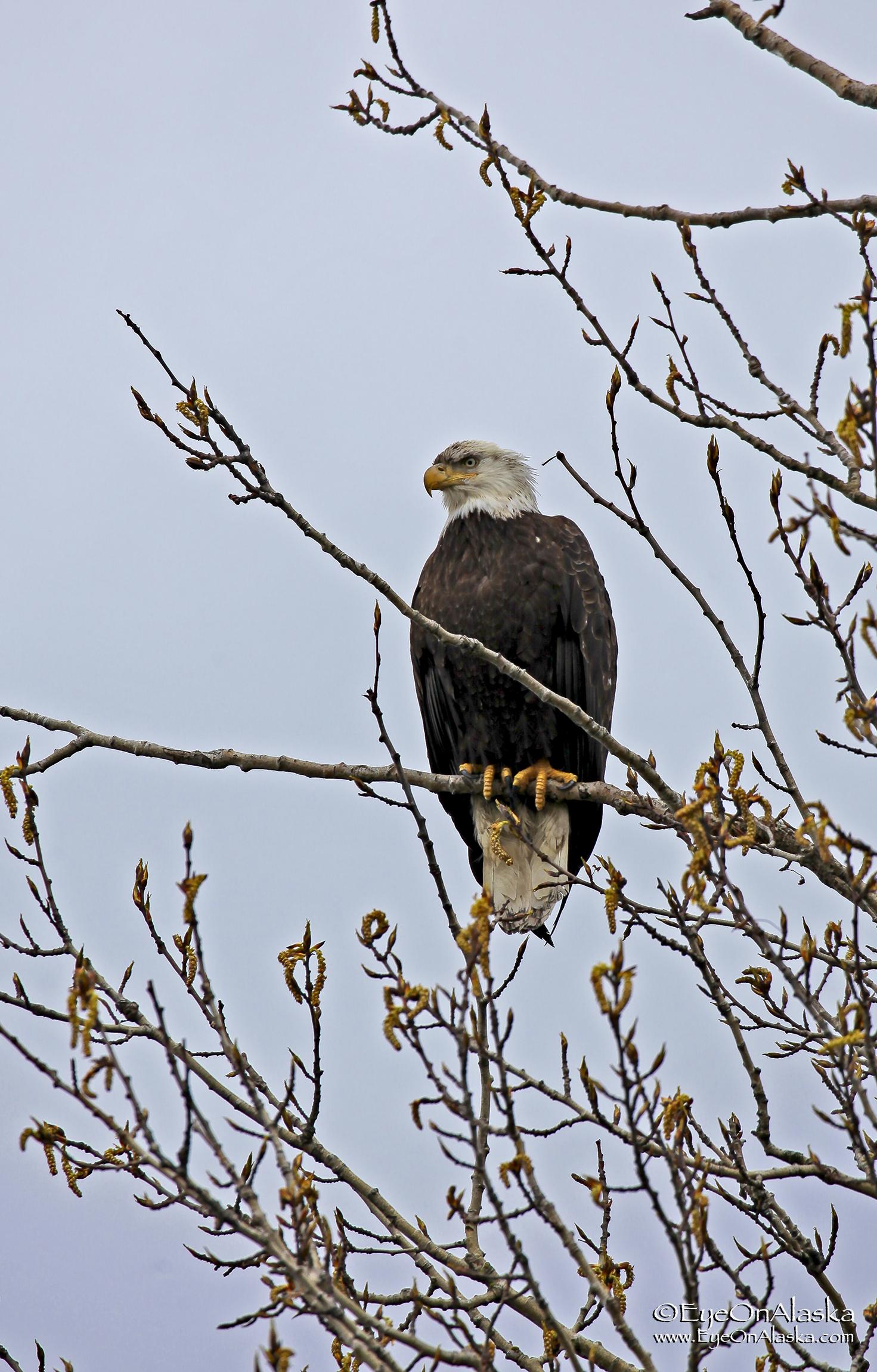Eagle's everywhere along the shoreline.