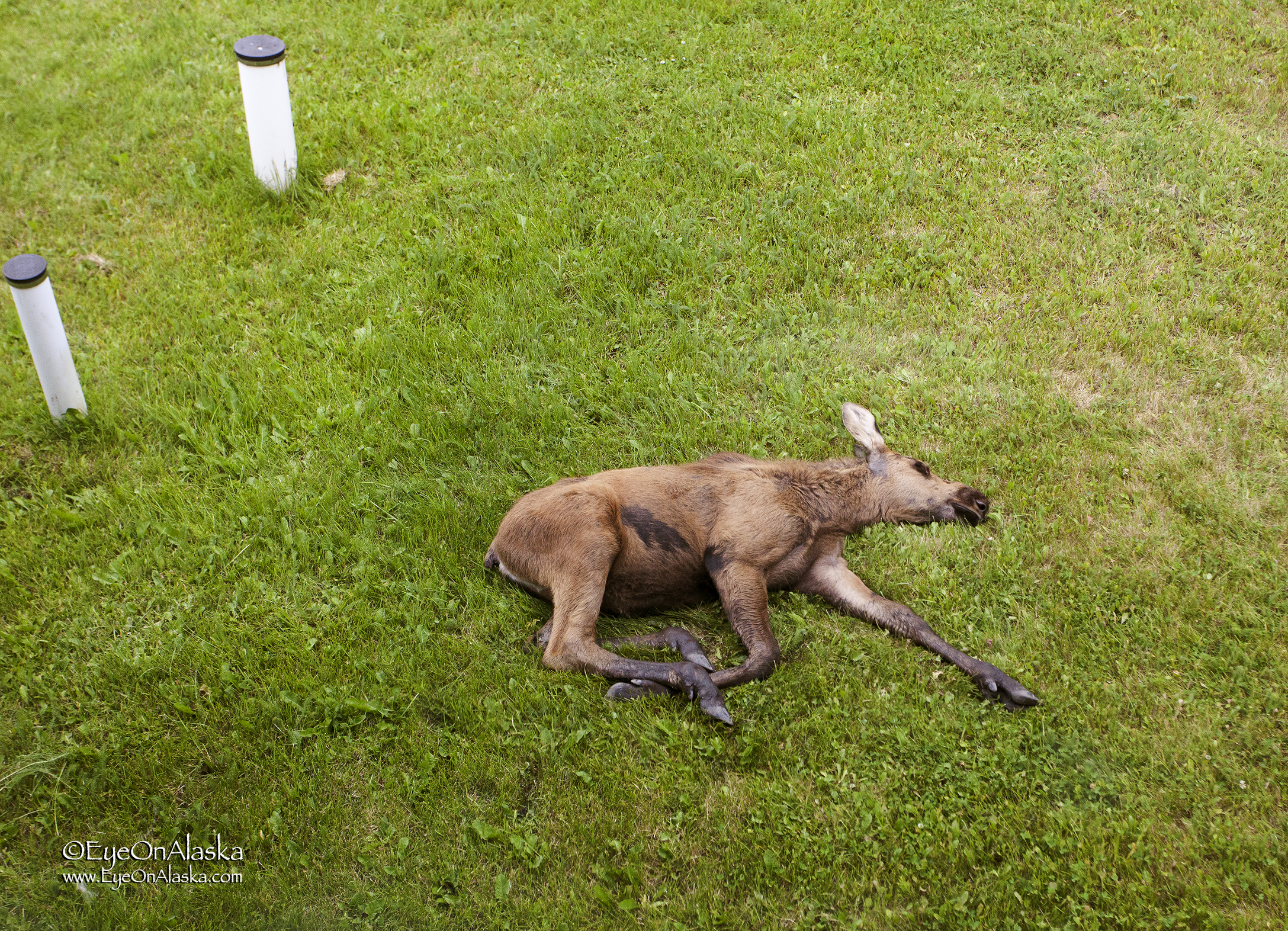 It's tough work being a baby moose. I'm gonna catch some z's.