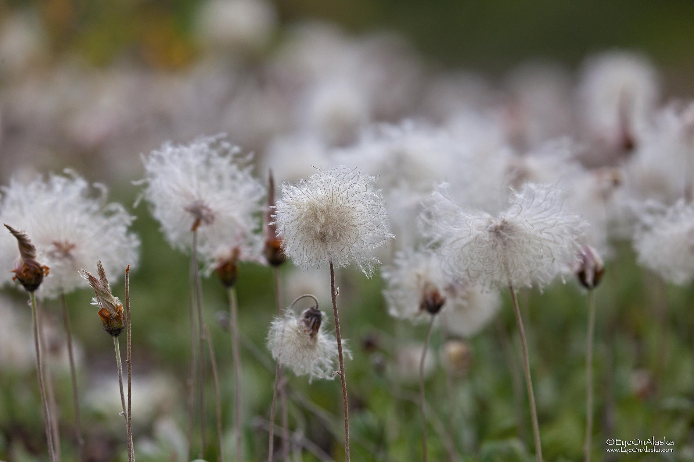 Tundra cotton.