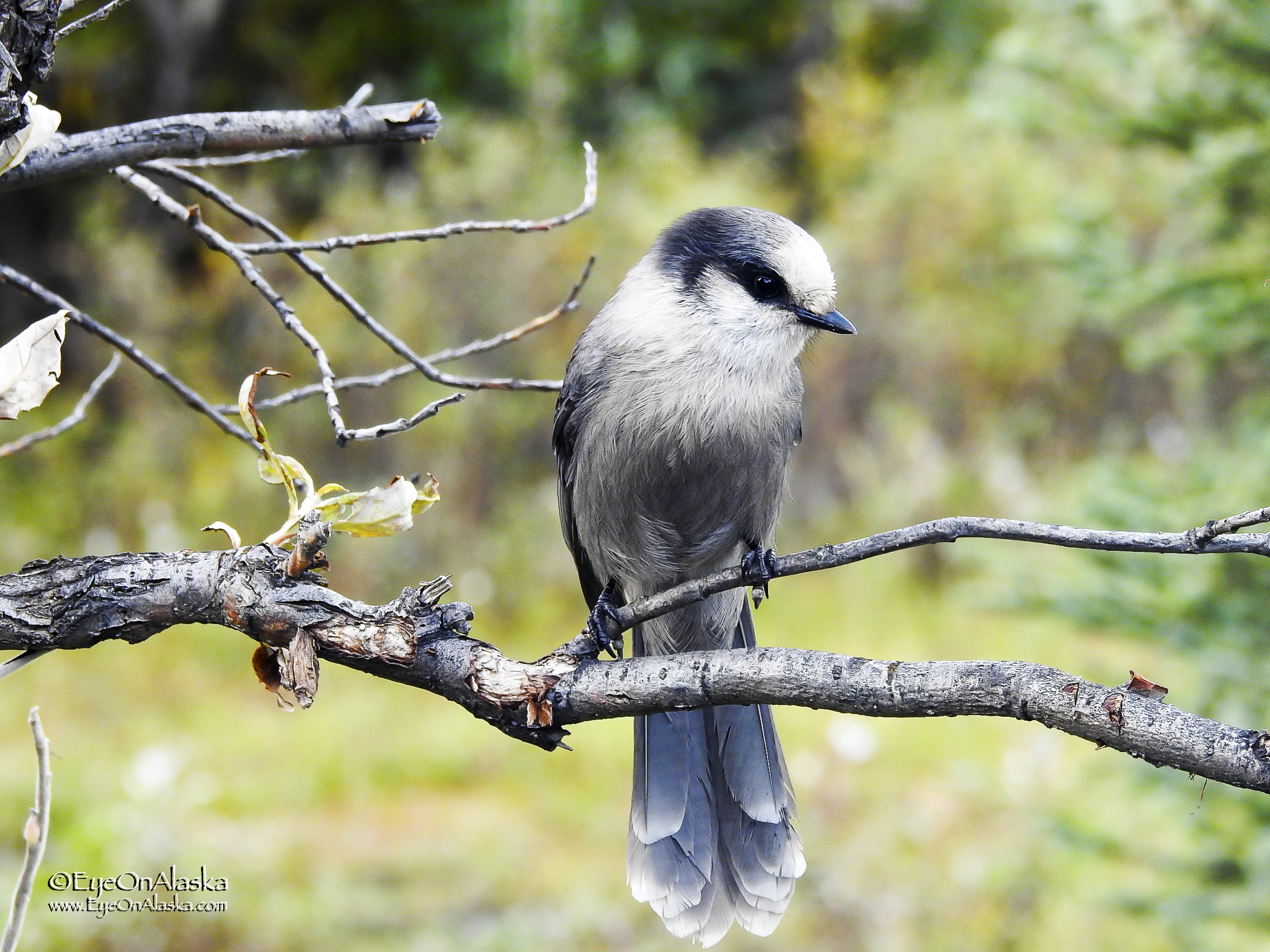 The Grey Jay's were out in force in the campground hoping someone would feed them.