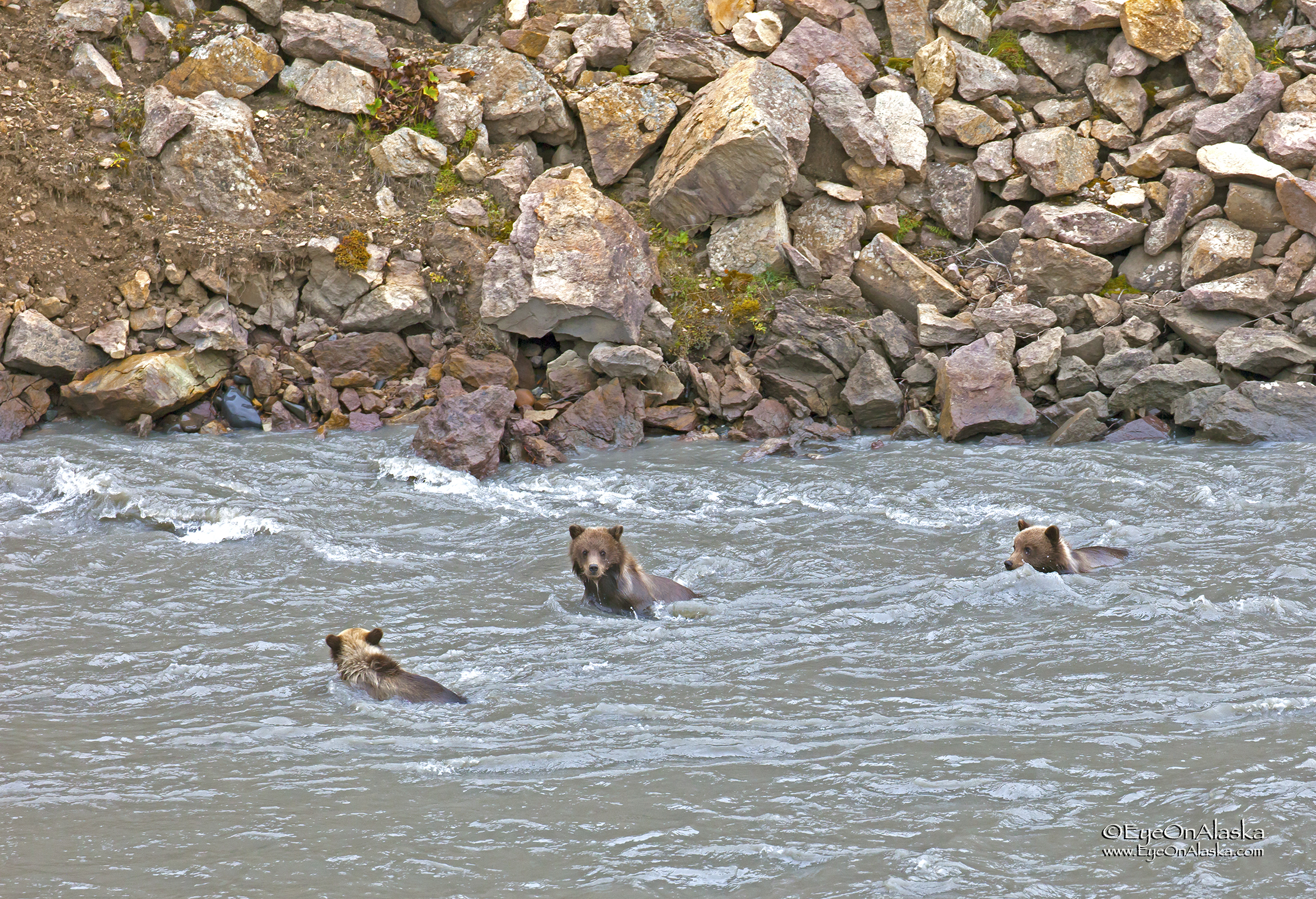 The other two have to get in the act, so all three cubs are now headed downstream in the swift current.