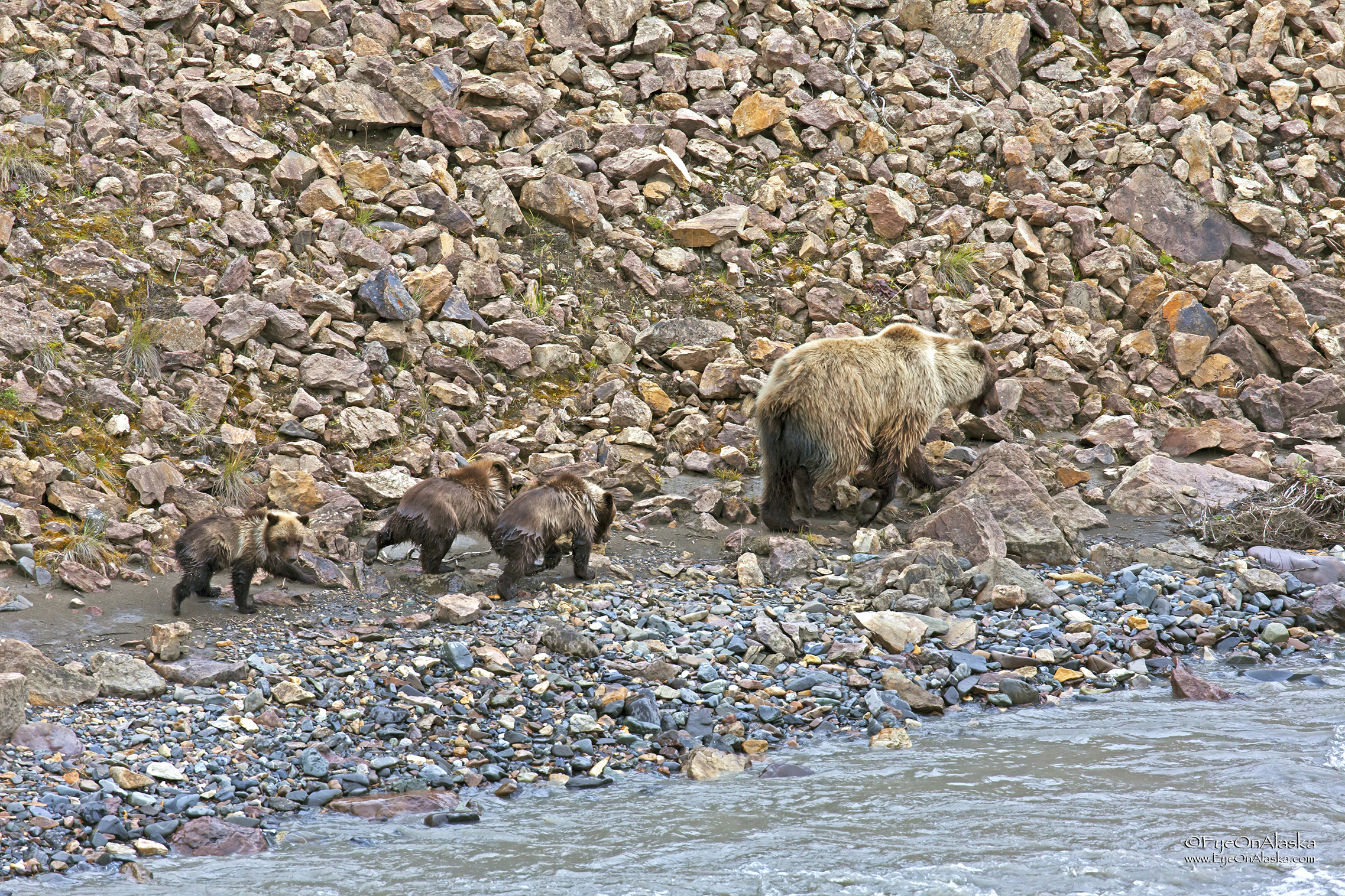 All four of them finally make it back to shore and the soggy bear family heads off uphill to the blueberry patches.