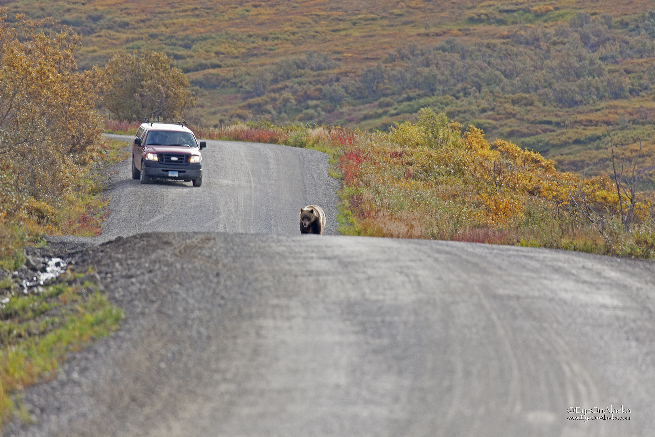 Mr. Curious bear has now decided that he really wants to see just what we are, so he's on the road hoofing it towards us at a good clip.  That's a photographer's car in the background that came upon all this happening.  We made it around a corner so the bear could no longer see us and we jumped on the bikes and sprinted as fast as we could to put some distance between us, always looking behind to see what he was up to.  He must have got bored when he couldn't see us any longer and he got off the road.   A good healthy dose of adrenalin for breakfast!