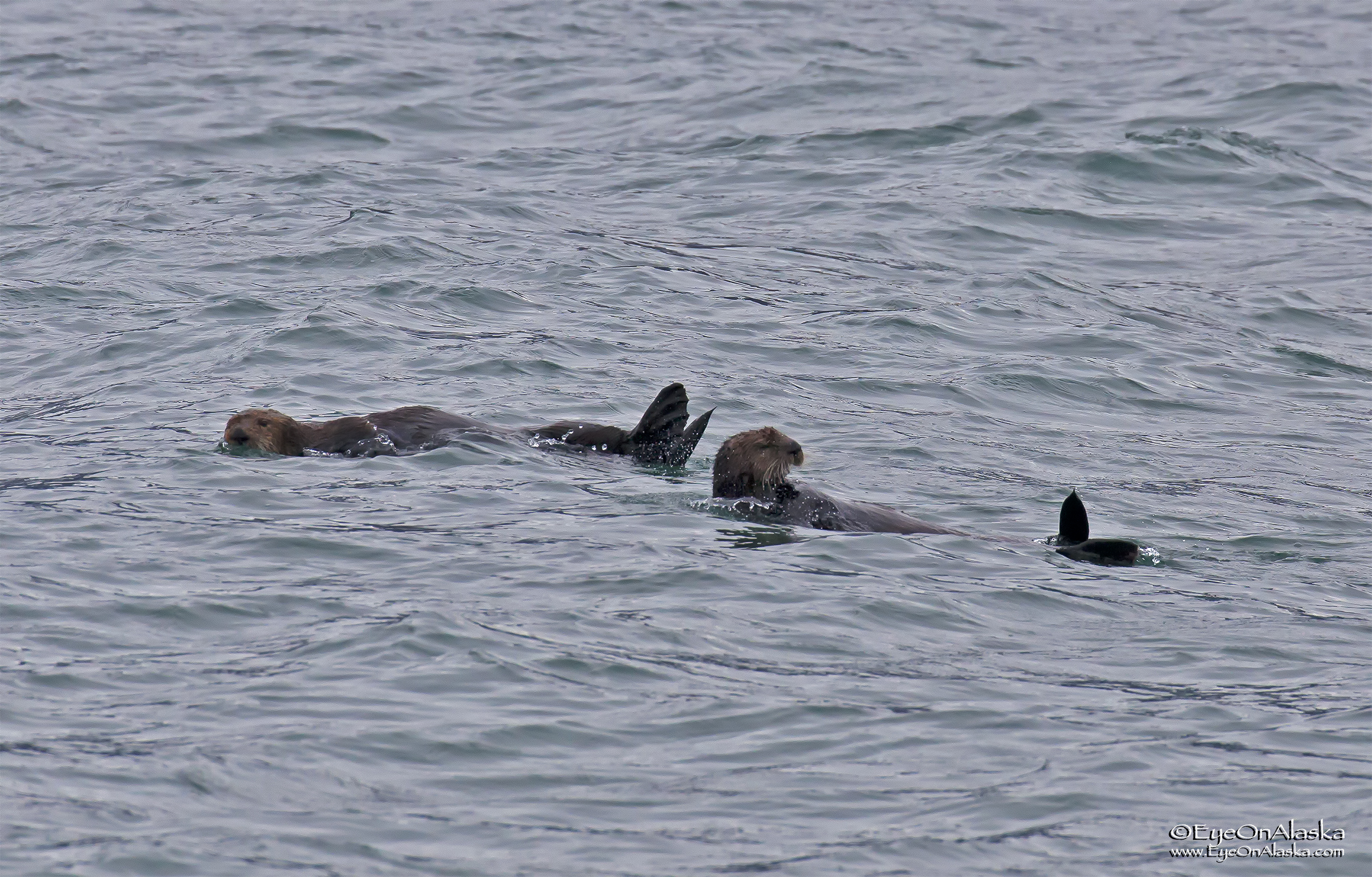 No whales this weekend, just lots of sea otters.