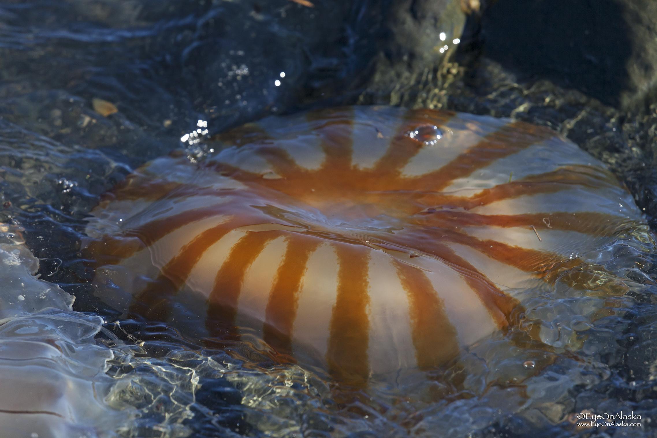 A compass jellyfish.
