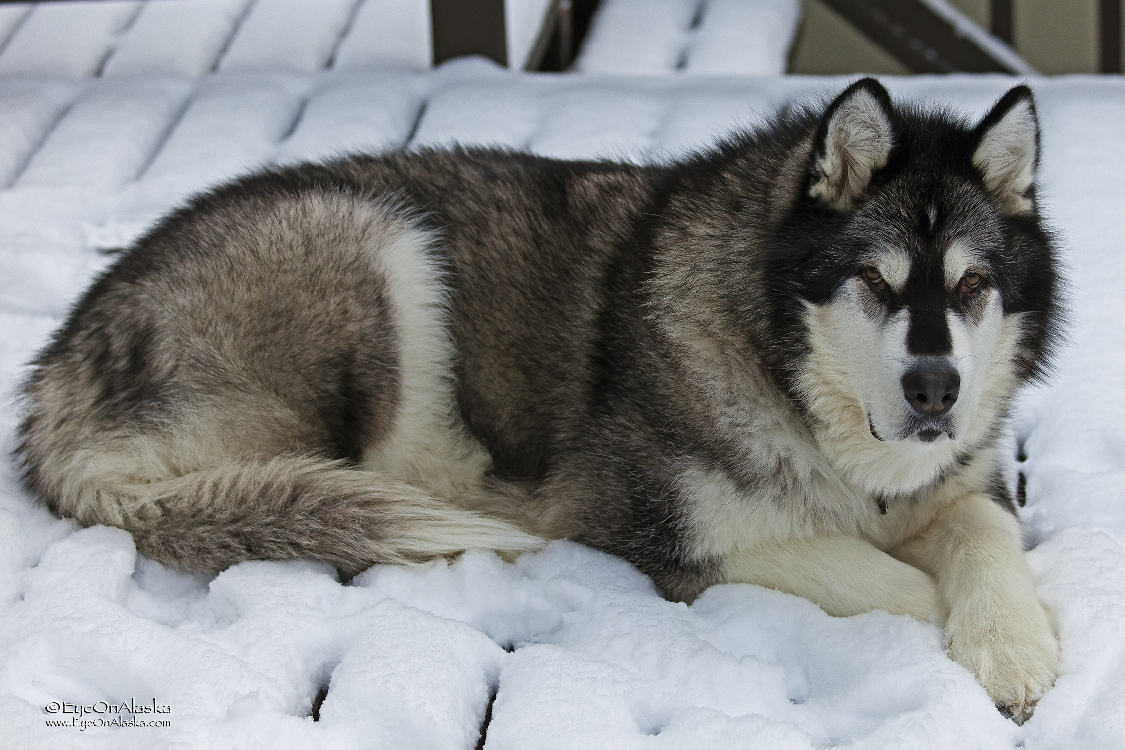 Xena is one very happy dog! There might be enough snow to take her down to the park and skijor on the soccer field.